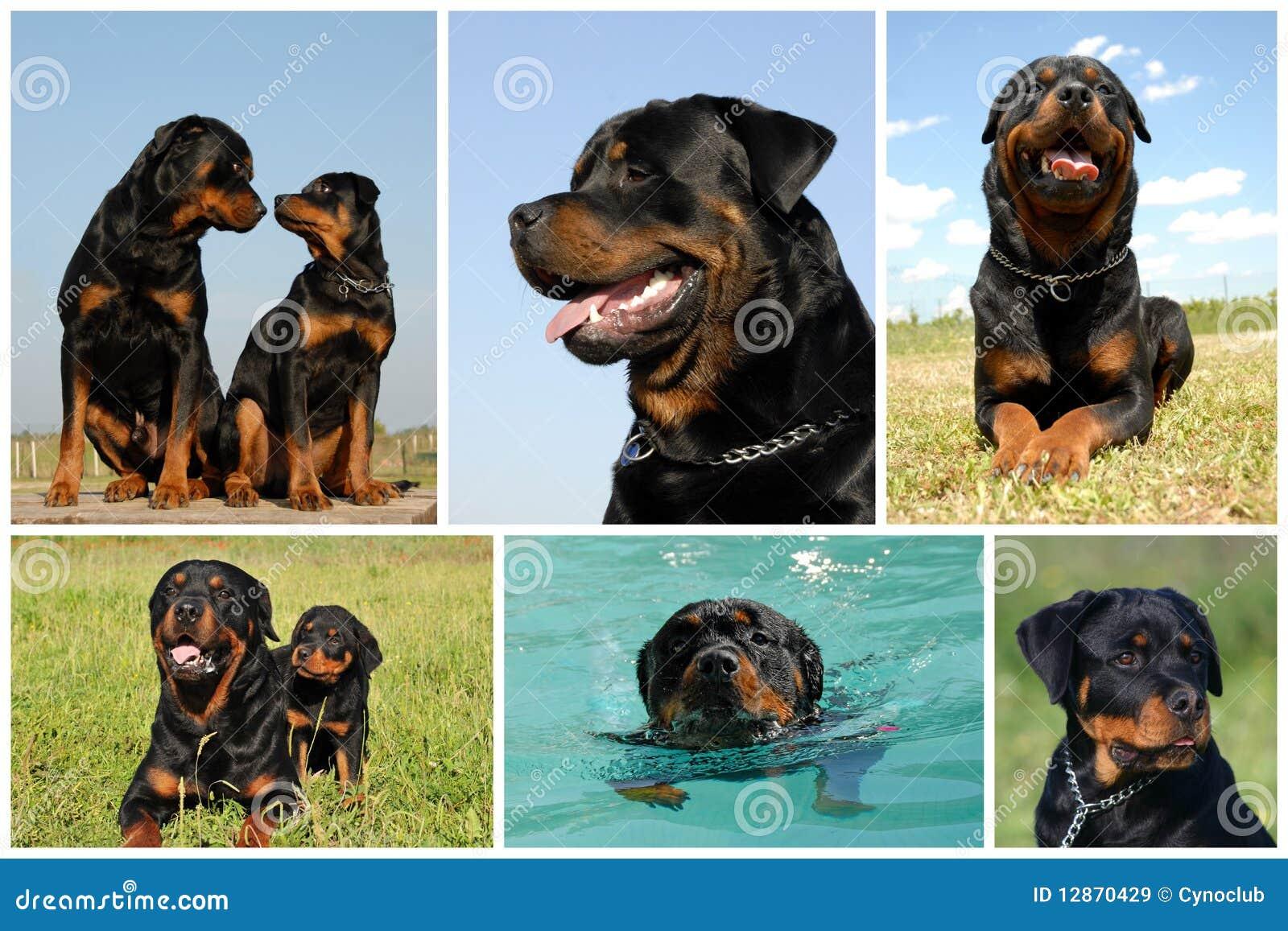 составное rottweiler изображения