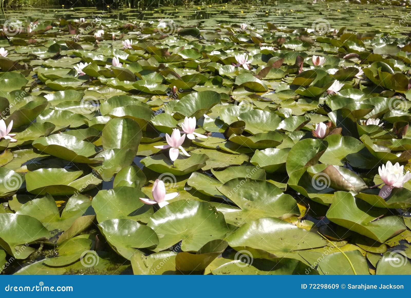 Download Сотни пусковых площадок и цветков лилии Стоковое Изображение - изображение насчитывающей заволакивание, alric: 72298609