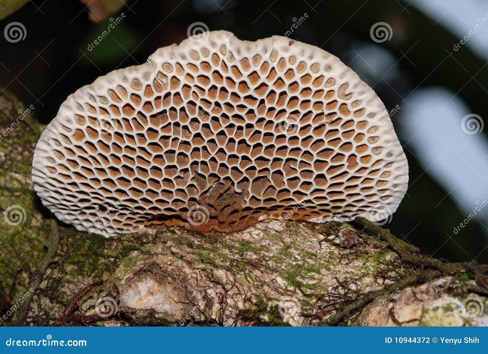 сотообразный гриб