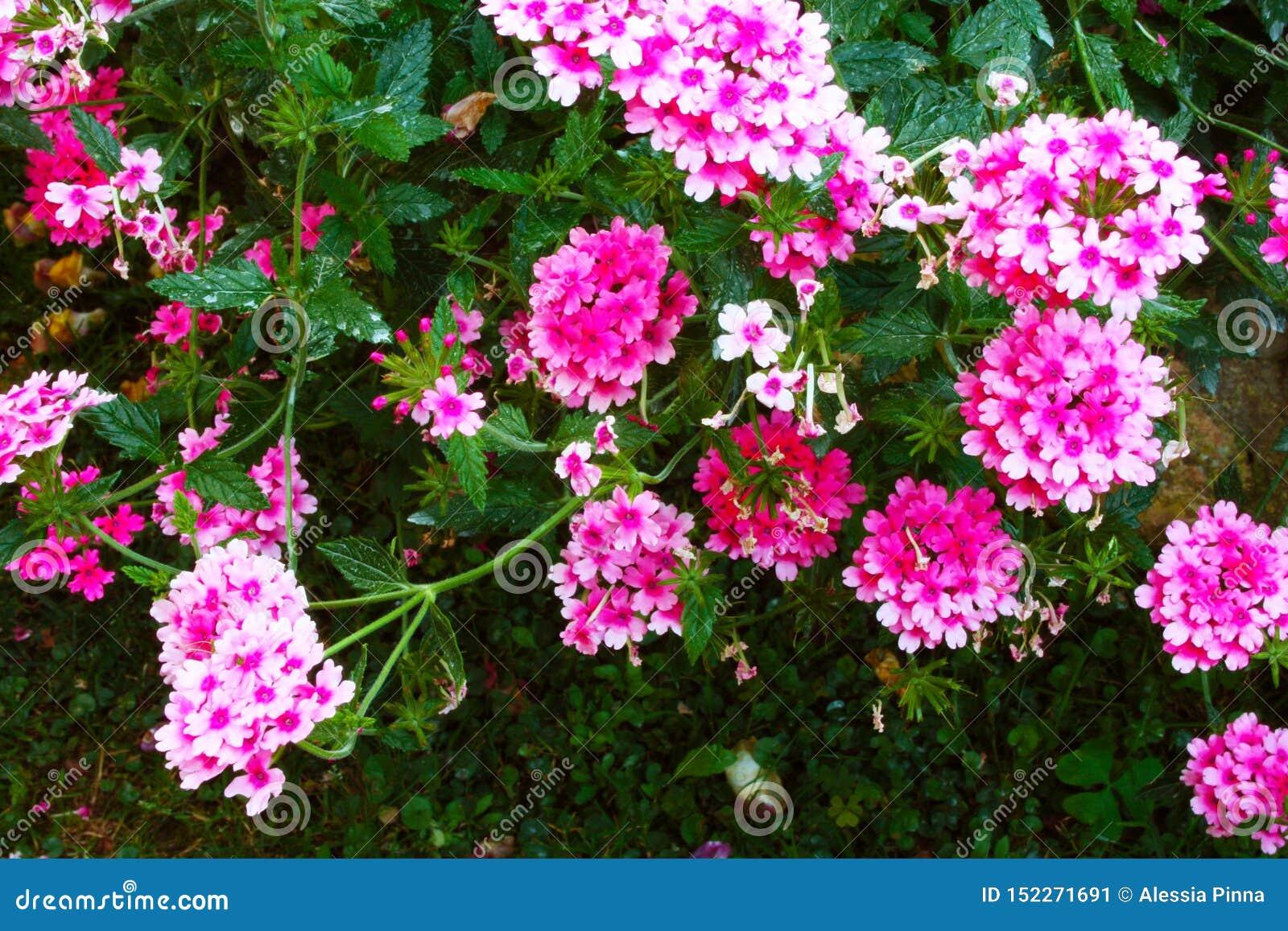 Сочный зеленый куст пинка и пурпурного цветка вербены