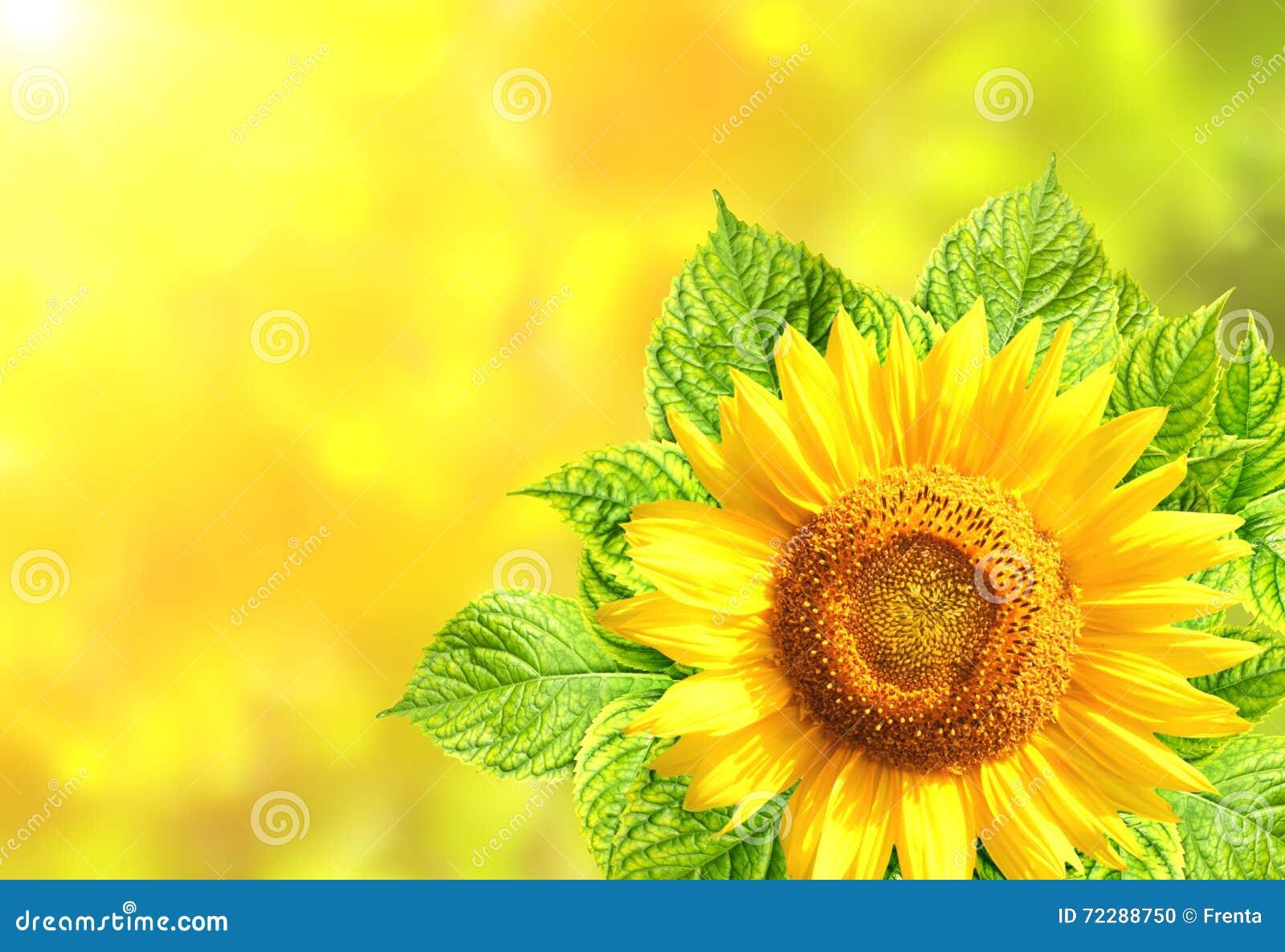 Download Солнцецвет с листьями зеленого цвета на солнечной предпосылке Стоковое Фото - изображение насчитывающей яркое, ново: 72288750