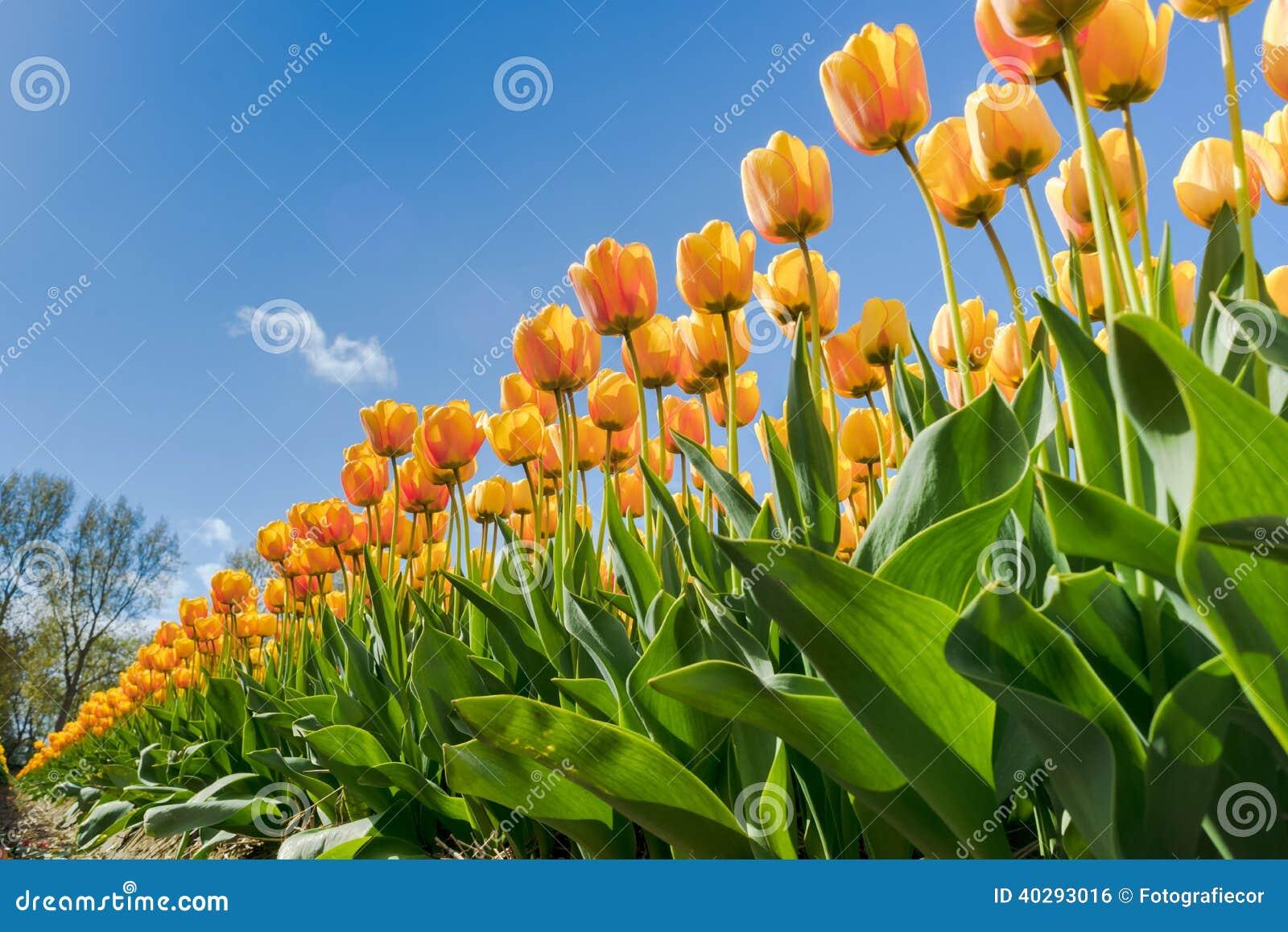 Солнце тюльпанов весной.