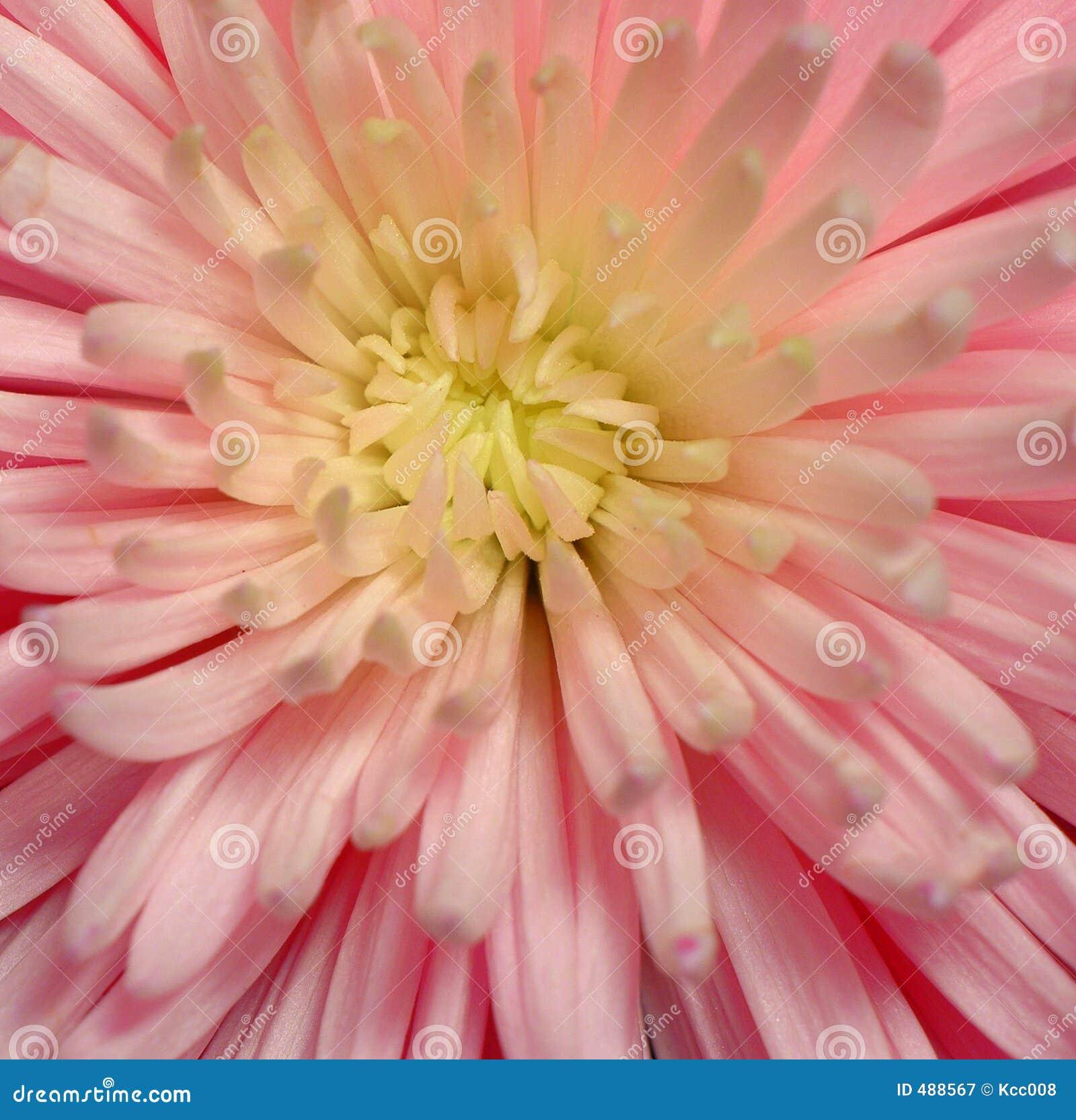 спайдер макроса хризантемы