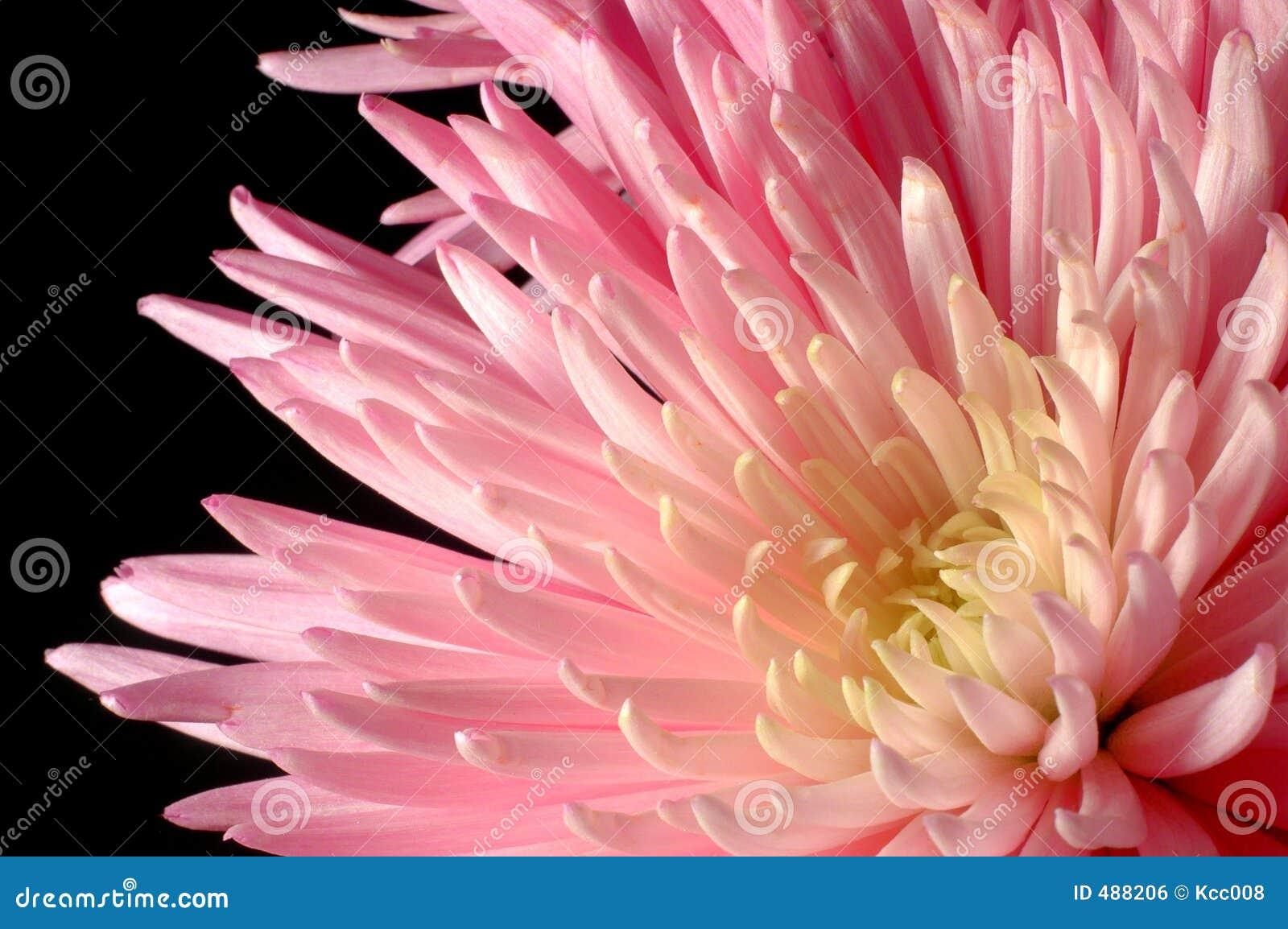 спайдер хризантемы розовый