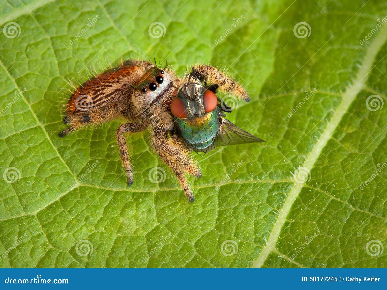 спайдер мухы скача