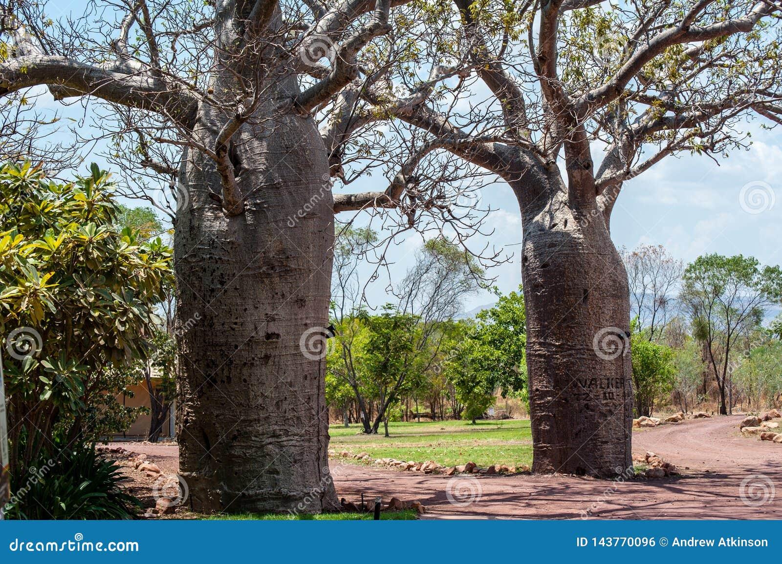 Спарите деревьев boab в саде