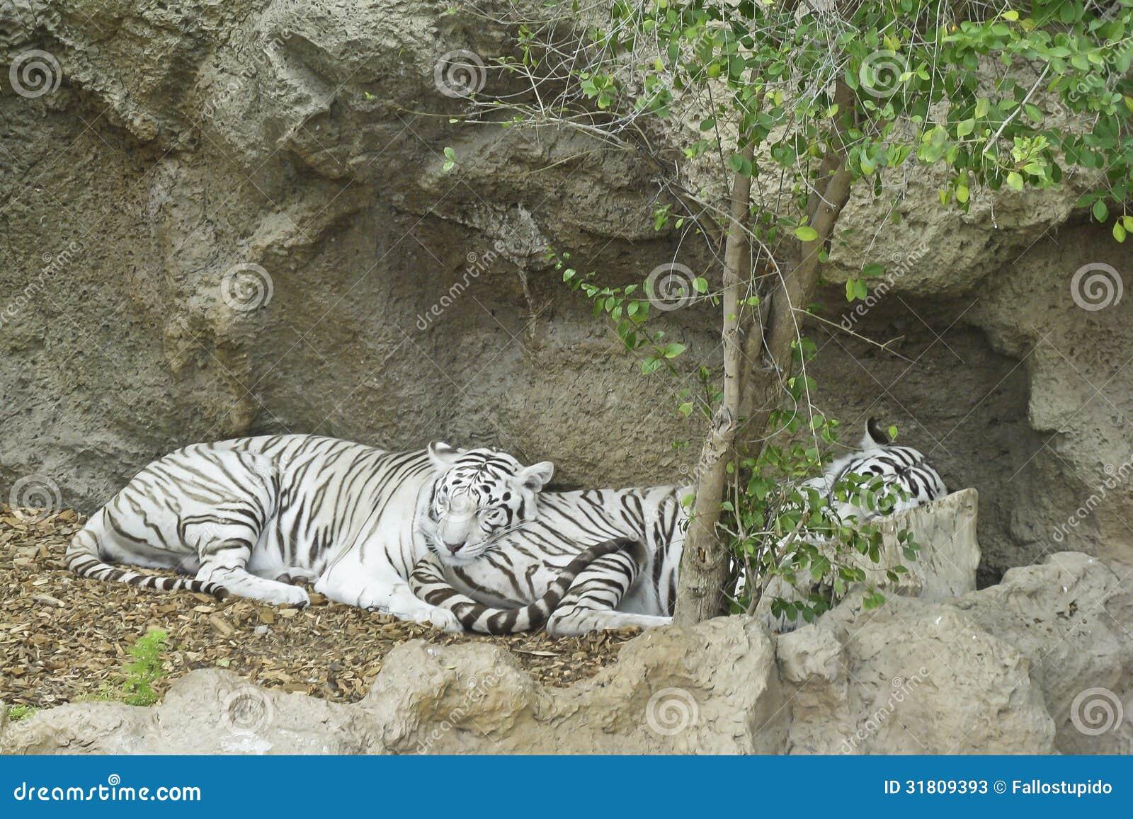 Спать 2 белый тигров