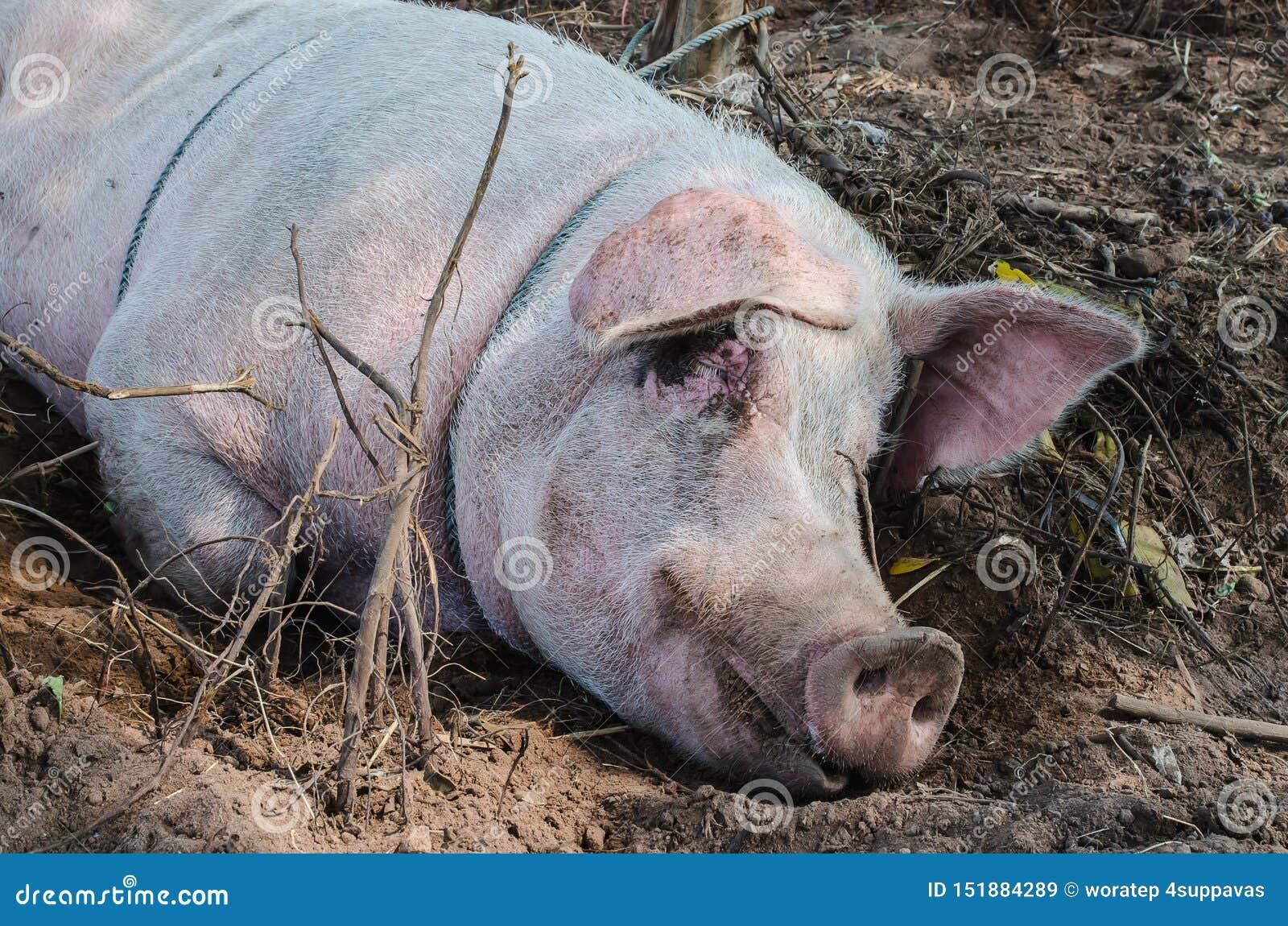 Спать свиньи