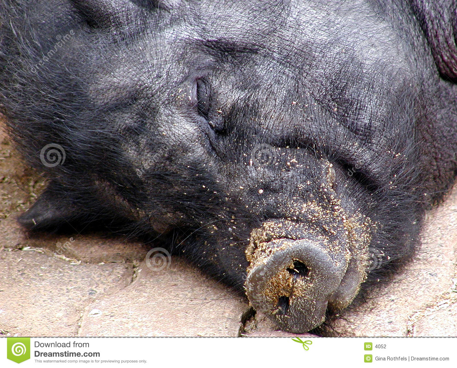 спать 2 свиней