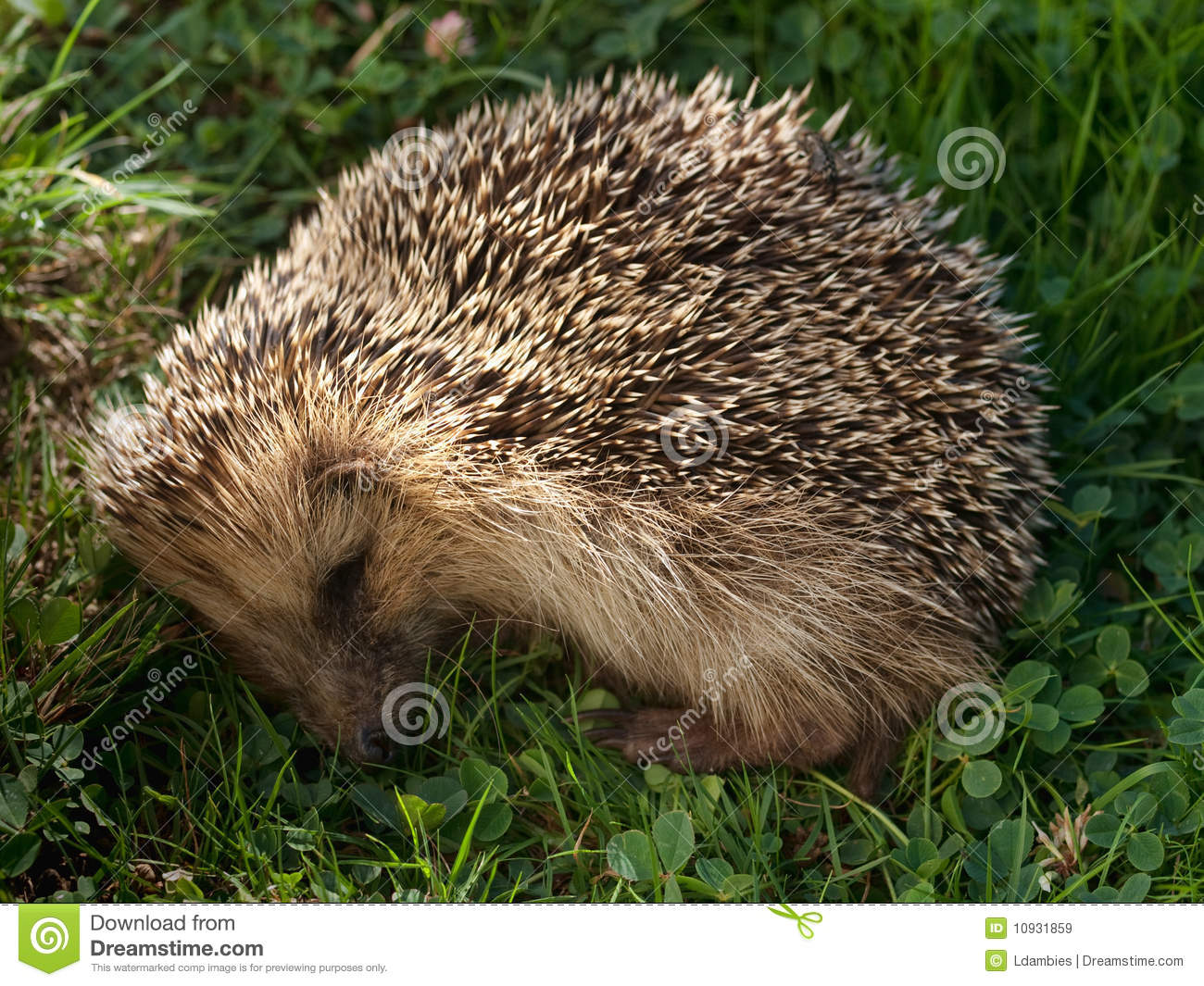 спать hedgehog