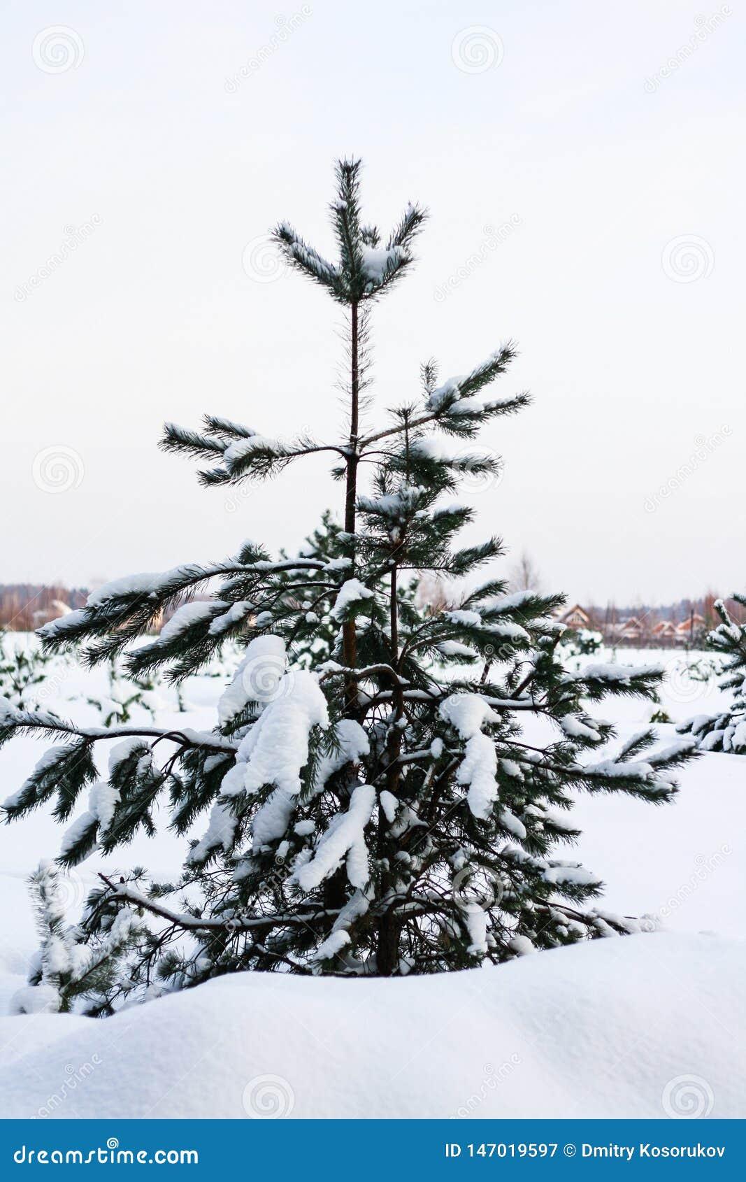 Спрус на краю леса зимы