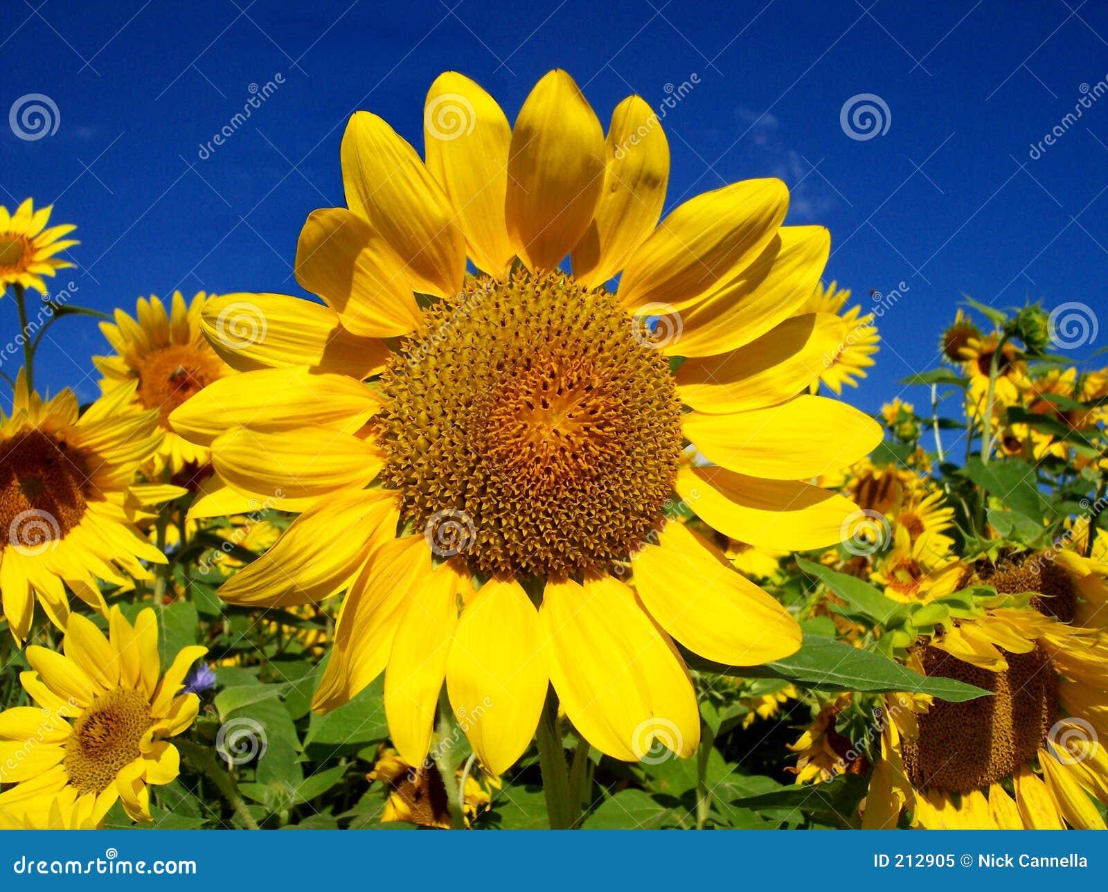 среди много солнцецвет