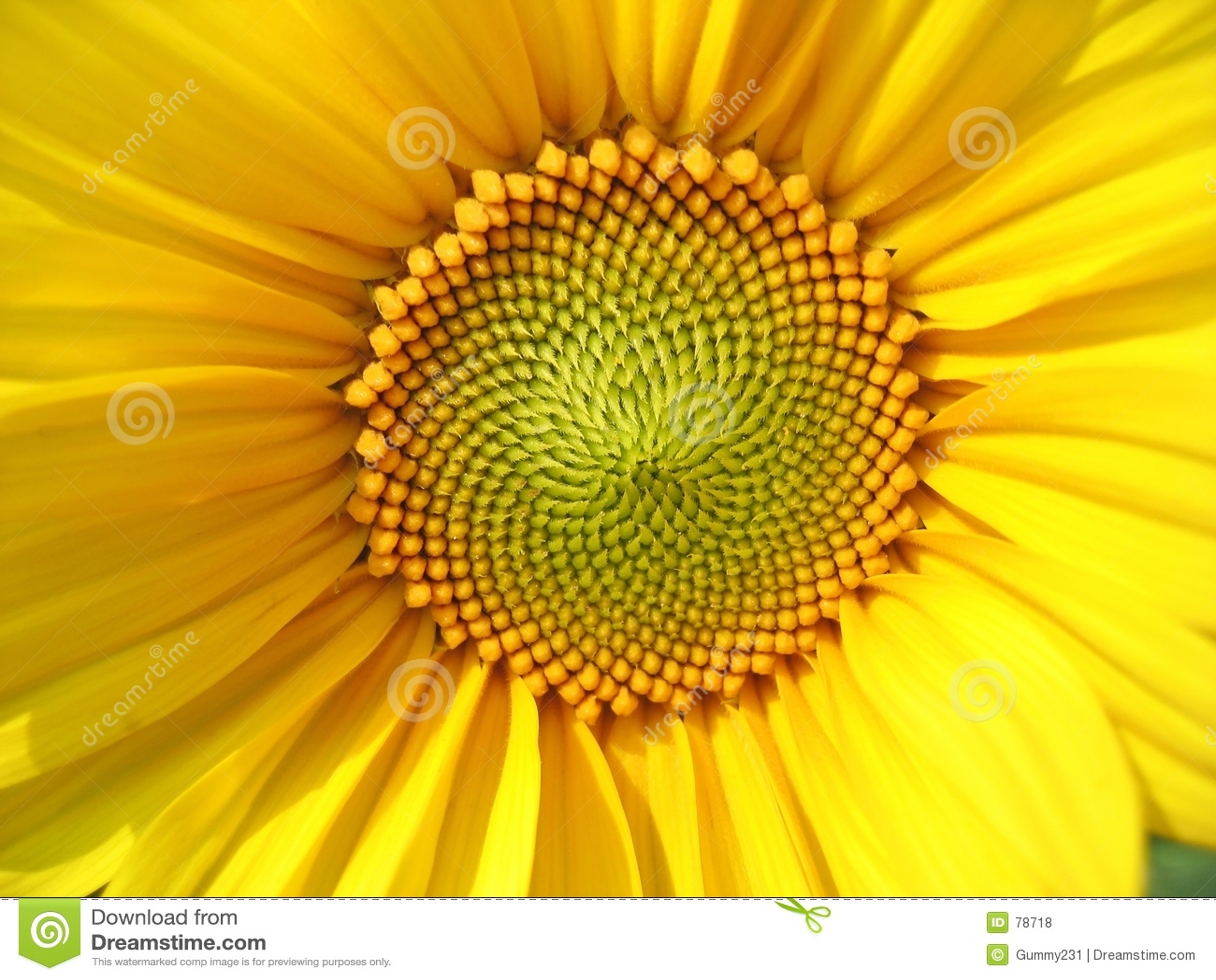 средний солнцецвет