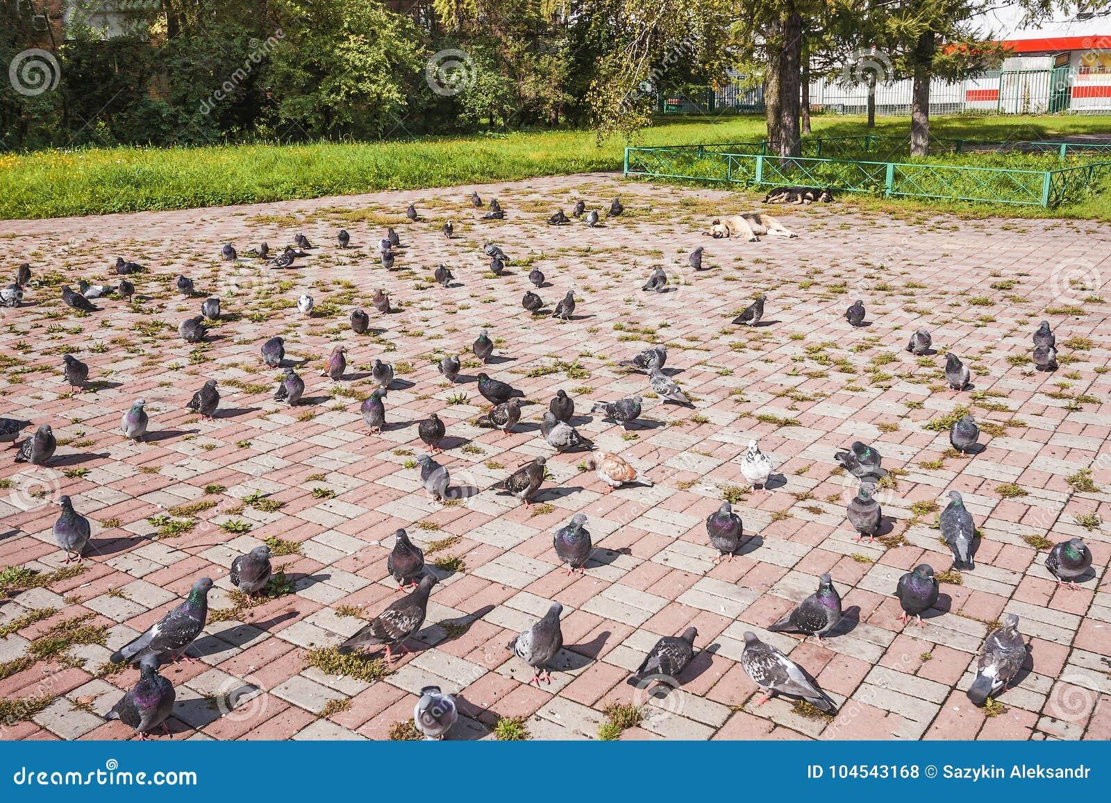 Стадо голубей идет и подает около собаки спать в солнце