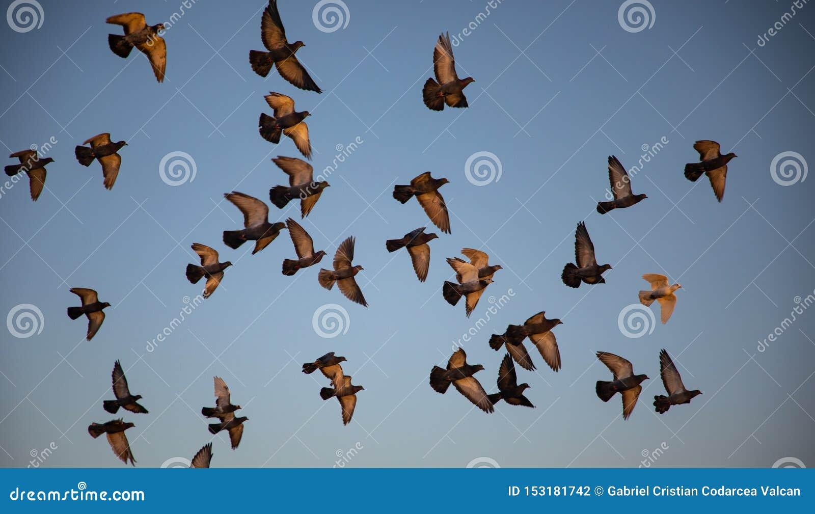 Стадо голубей летая с голубым небом в предпосылке