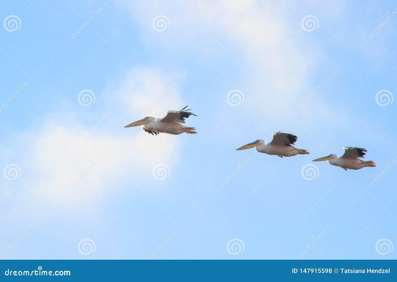 Стадо пеликанов летая в небо
