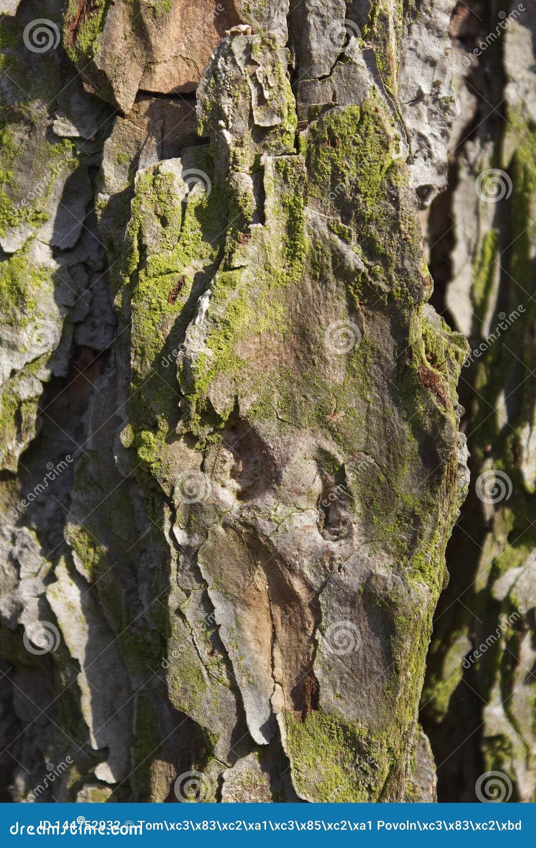 Старая деревянная текстура и лишайник на коре лиственницы hackmatack
