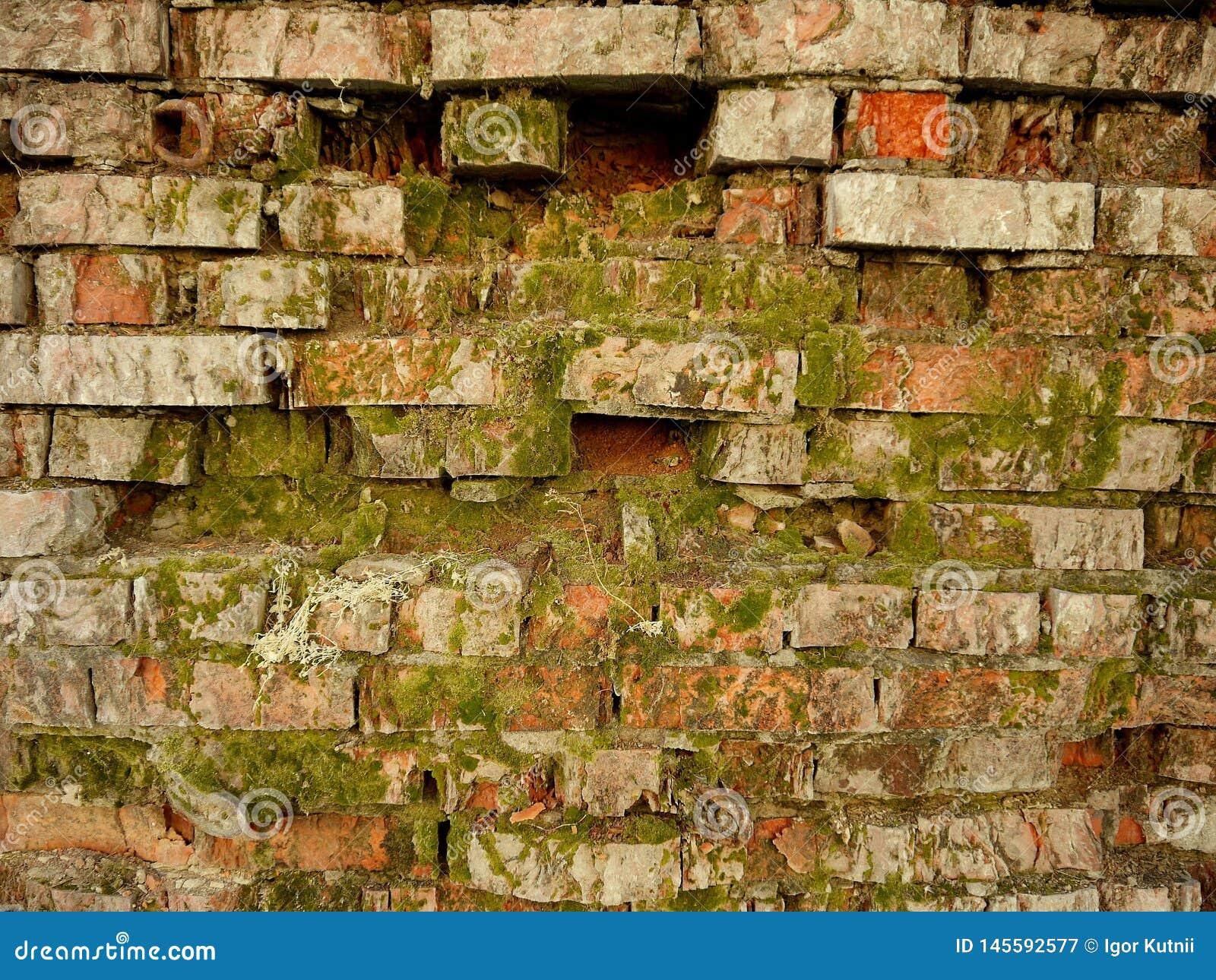 Старая кирпичная стена предусматриванная во мхе