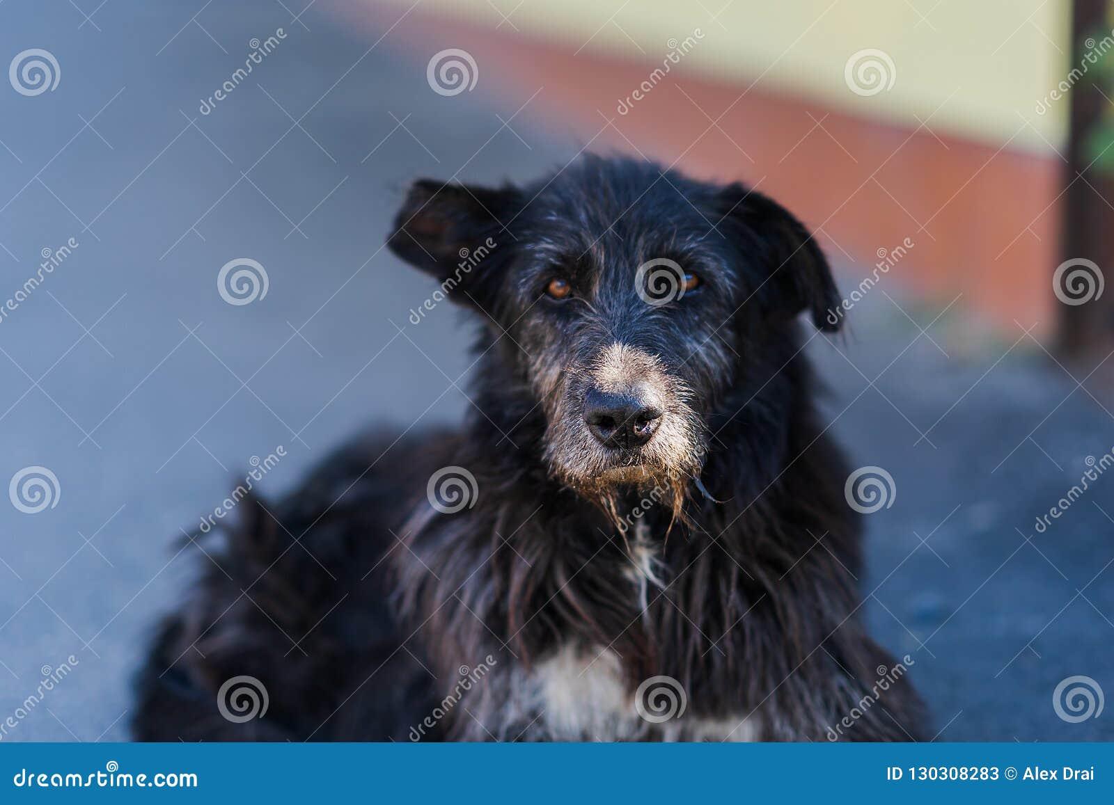 Старая черная бездомная собака лежит на улице