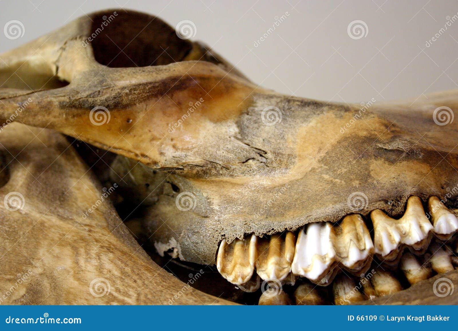 стародедовский череп