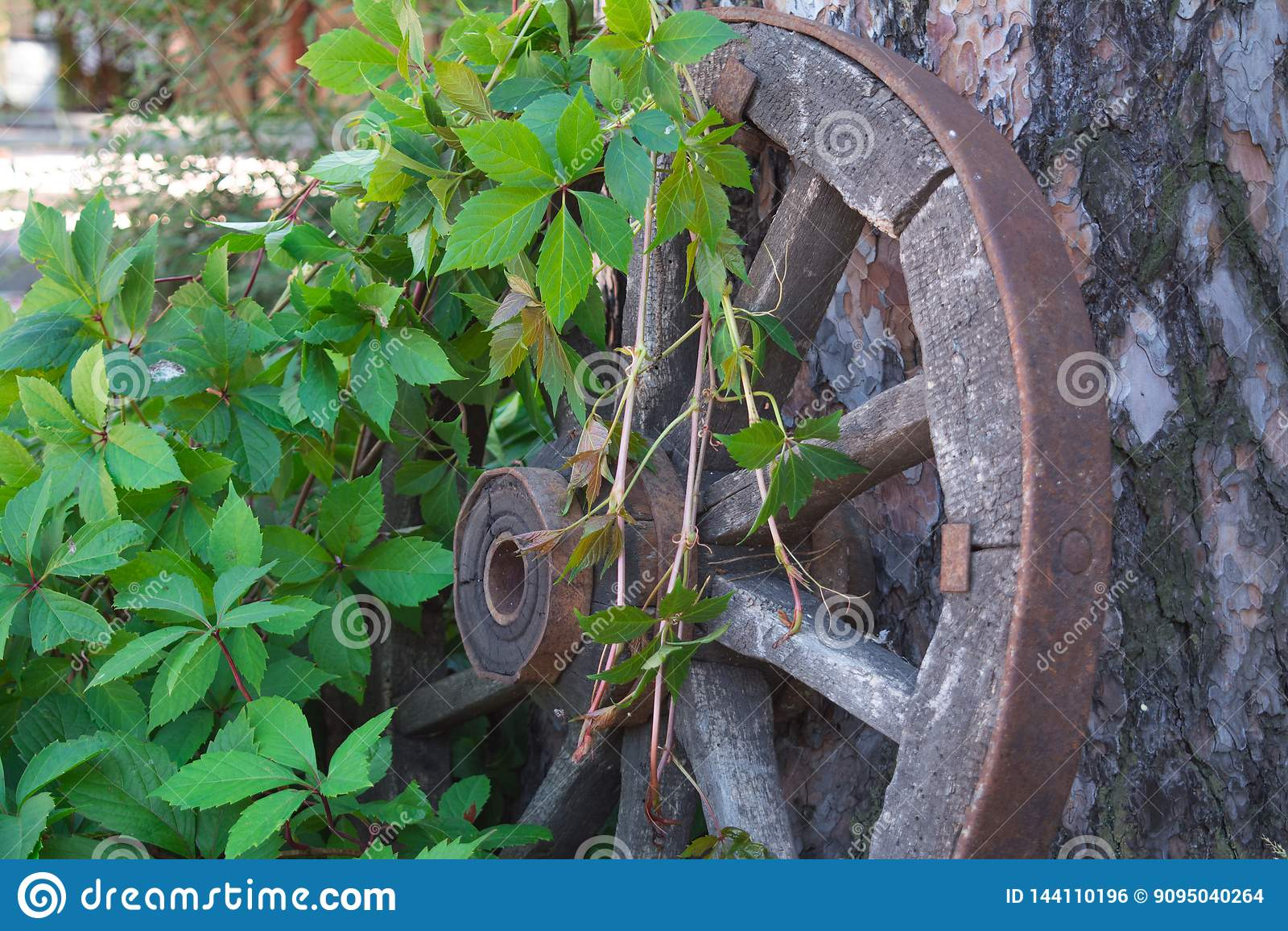 Старое колесо телеги entwined с ветвями дикой виноградины