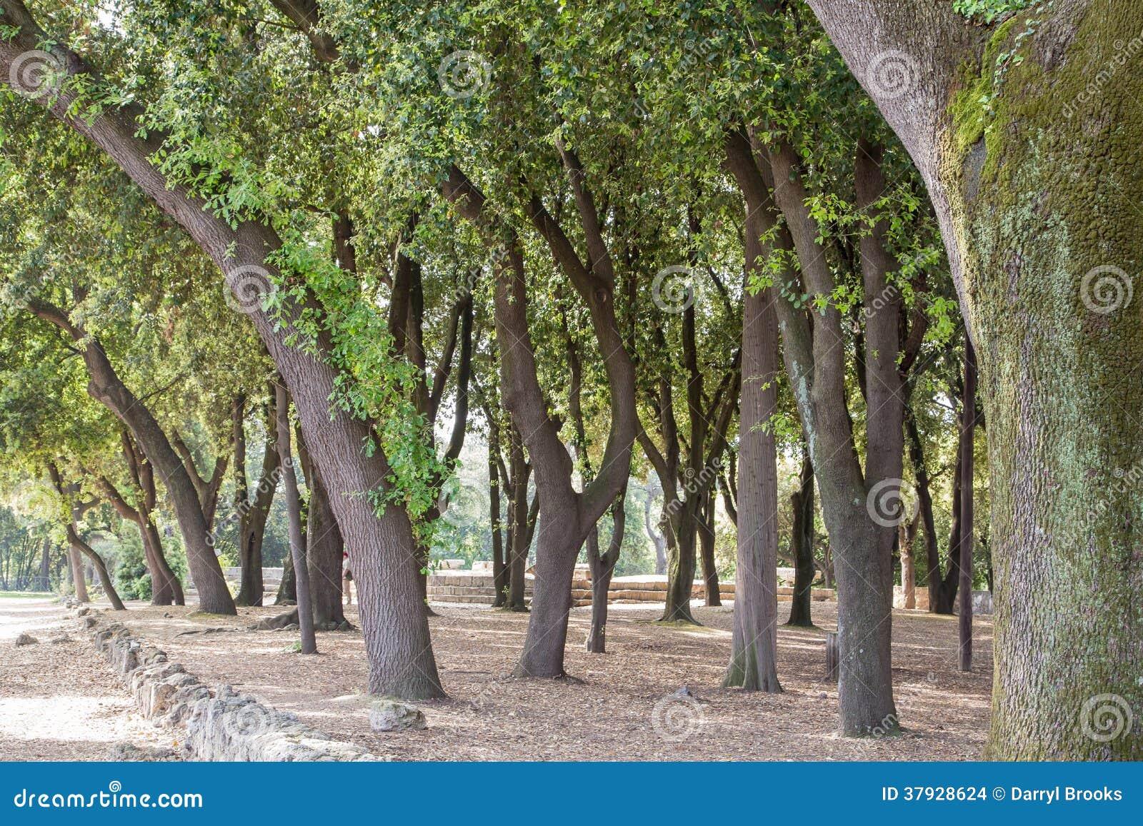 Старые изогнутые деревья вне Помпеи