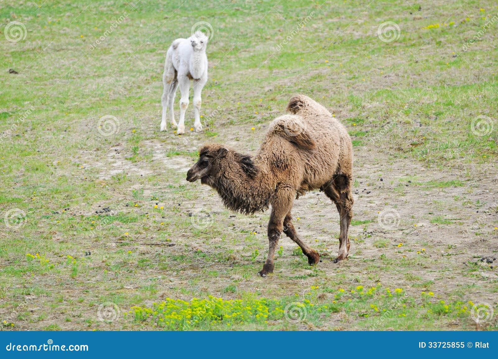 Старый и молодой верблюд