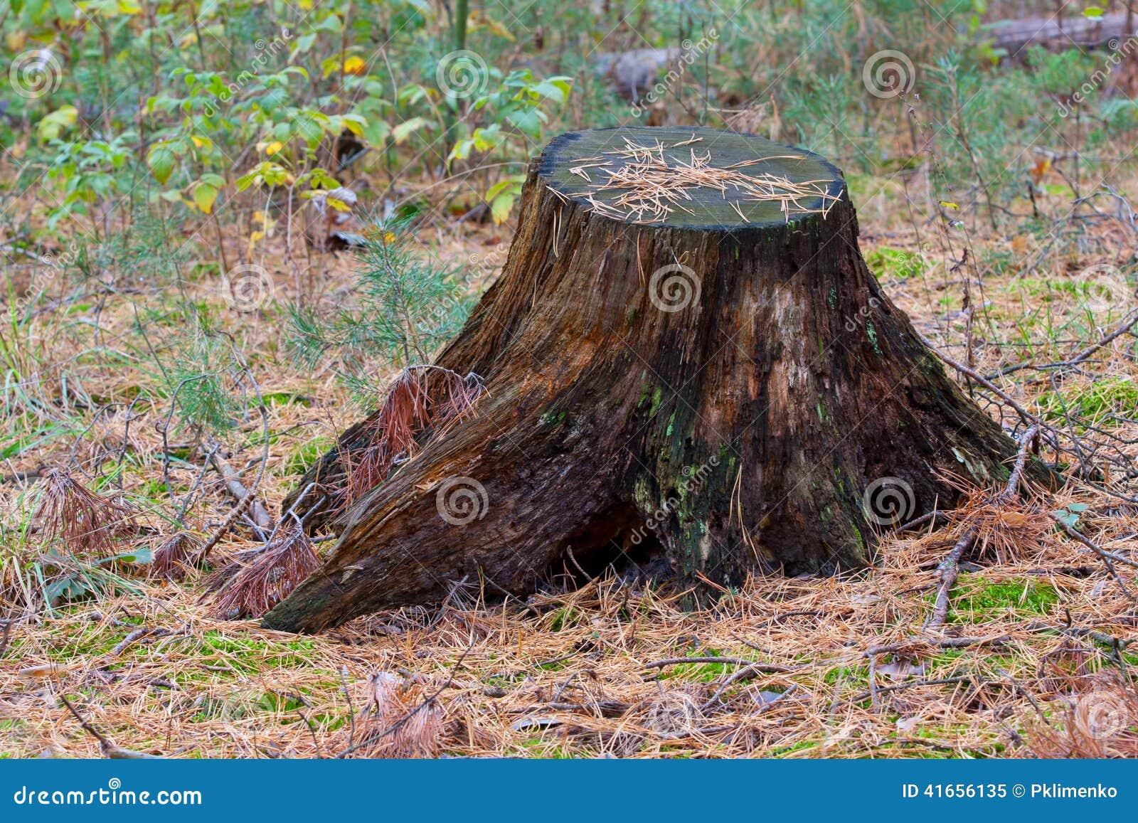 Старый пень в лесе иглы