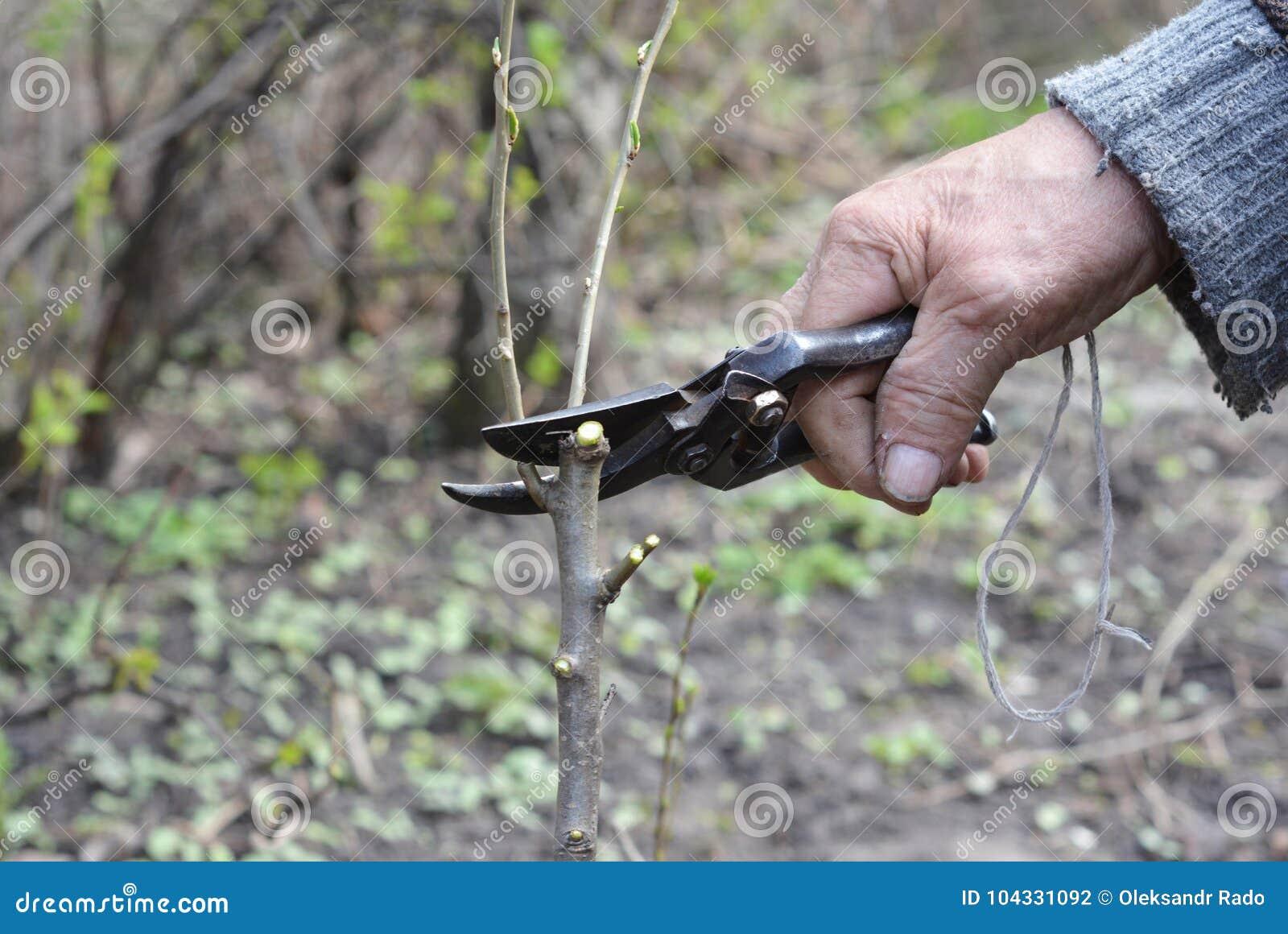 Старый садовник подготавливая ветвь яблони для прививать с ножом Руки старика прививая фруктовые дерев дерев шаг за шагом