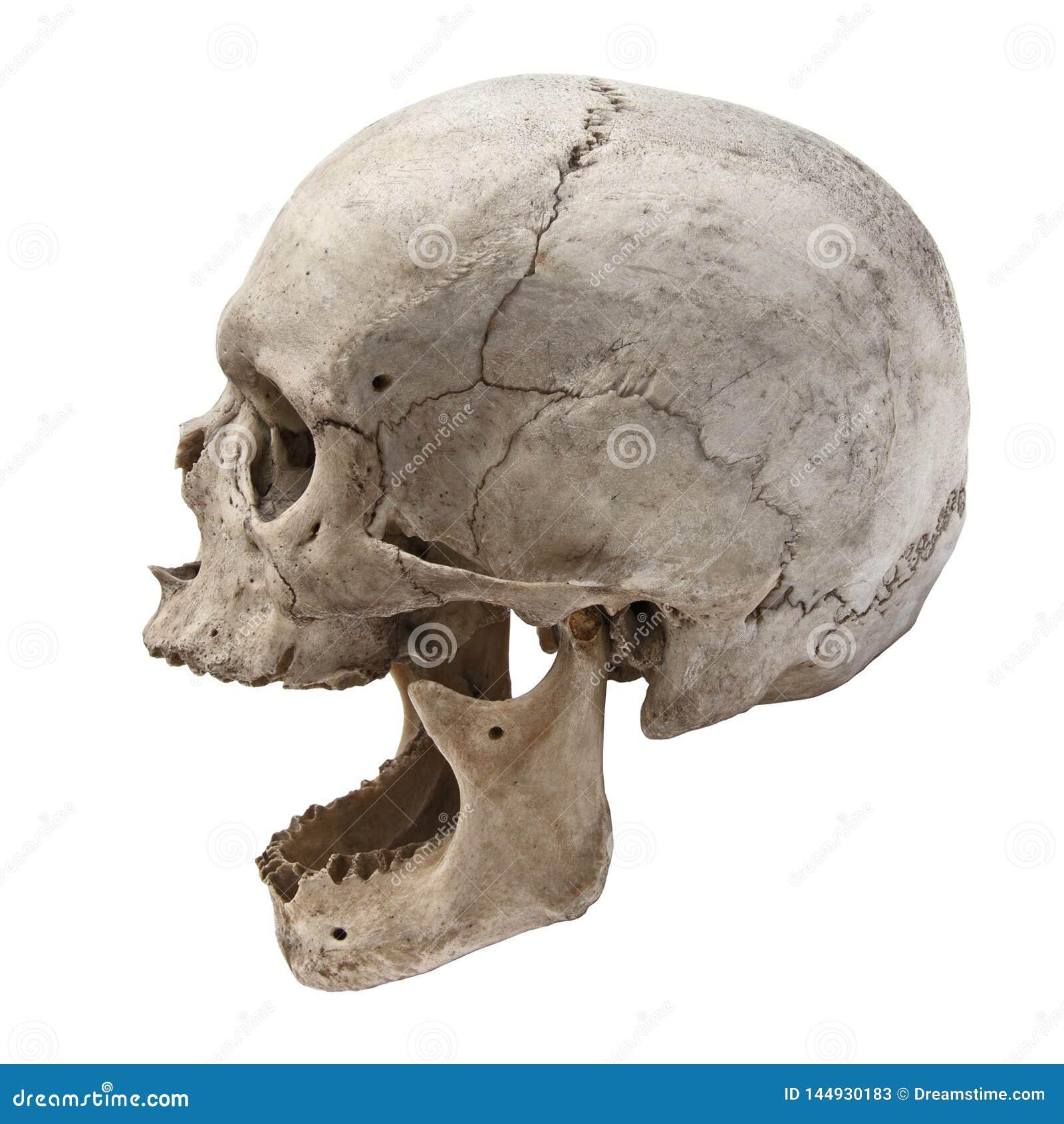 Старый человеческий взгляд черепа от стороны без зубов