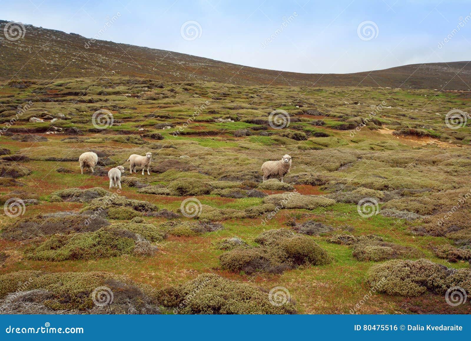 стая пася овец