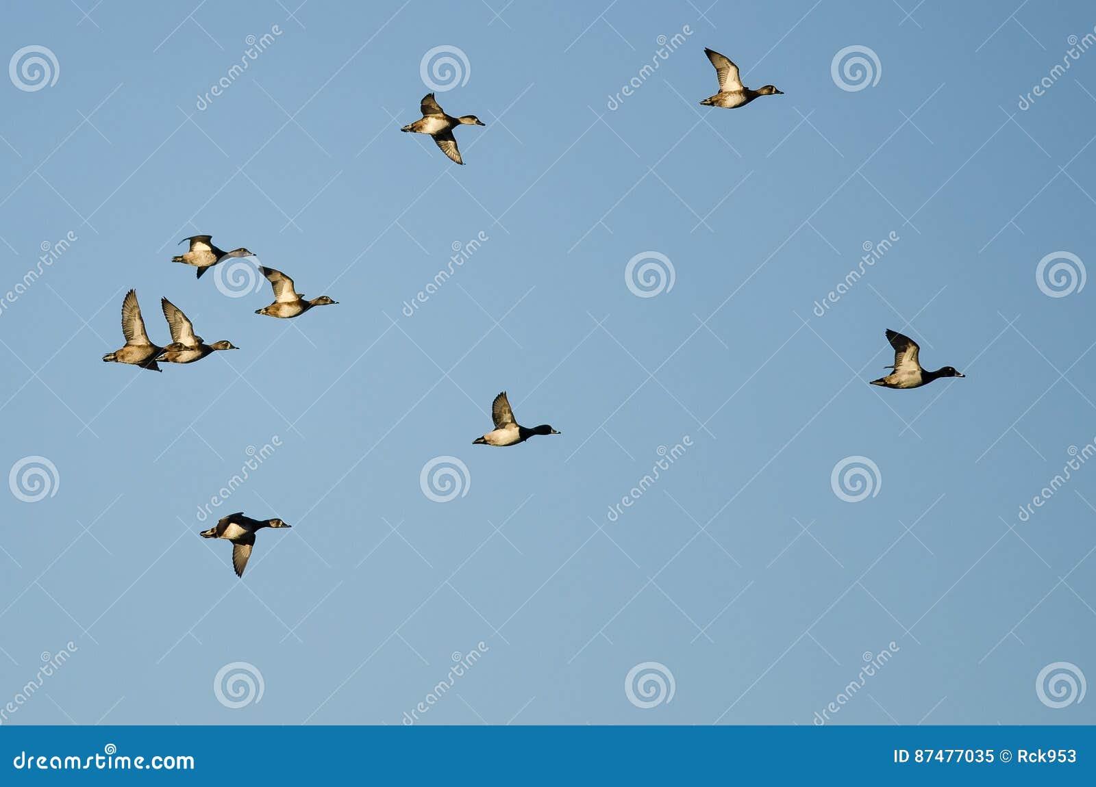 Стадо Кольц-Necked уток летая в голубое небо