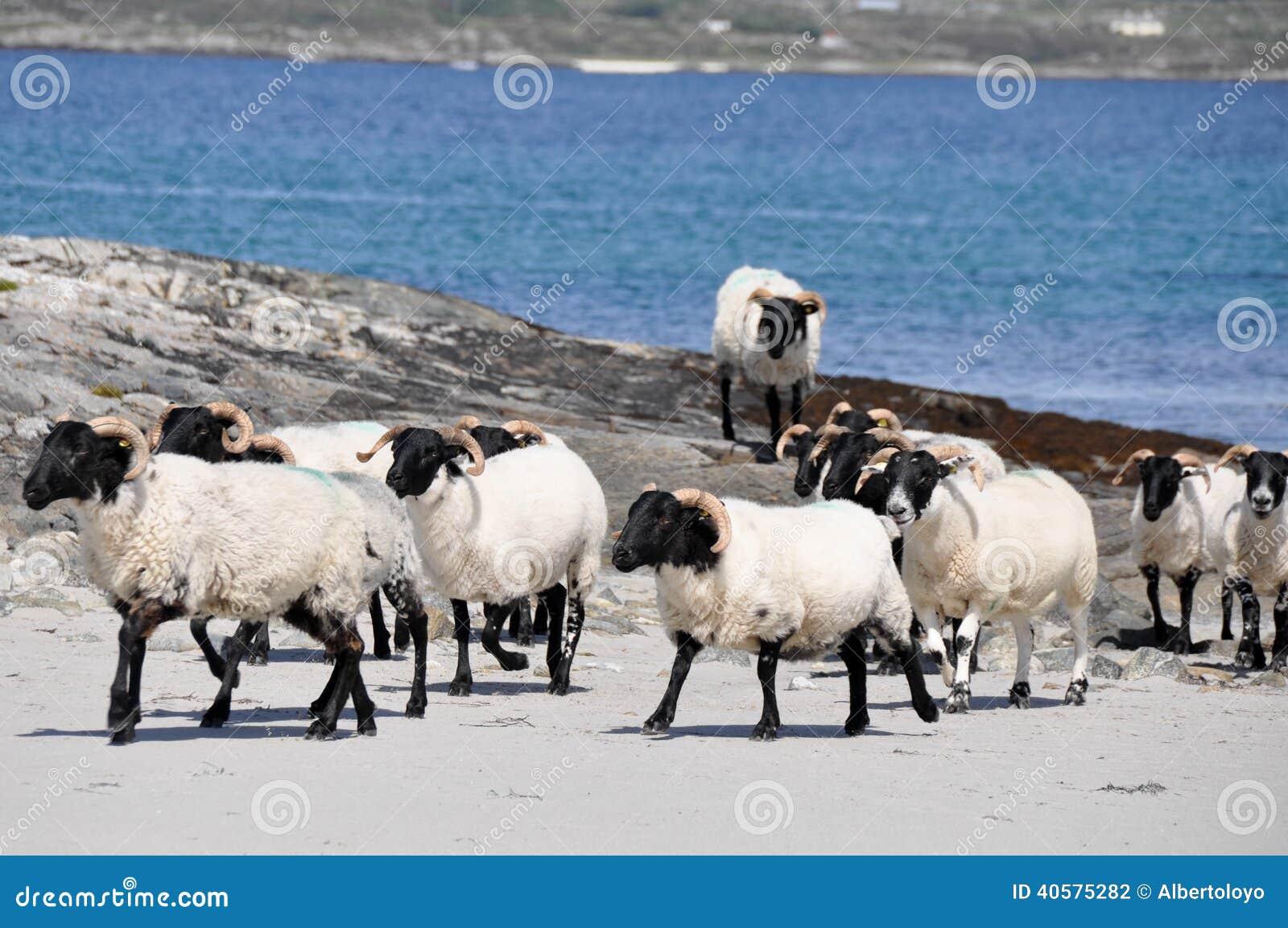 Стадо овец около моря (Ирландия)