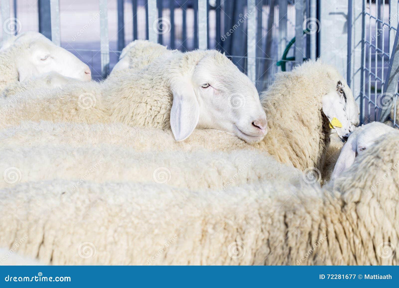 Download Стадо отечественных овец стоковое изображение. изображение насчитывающей поголовье - 72281677