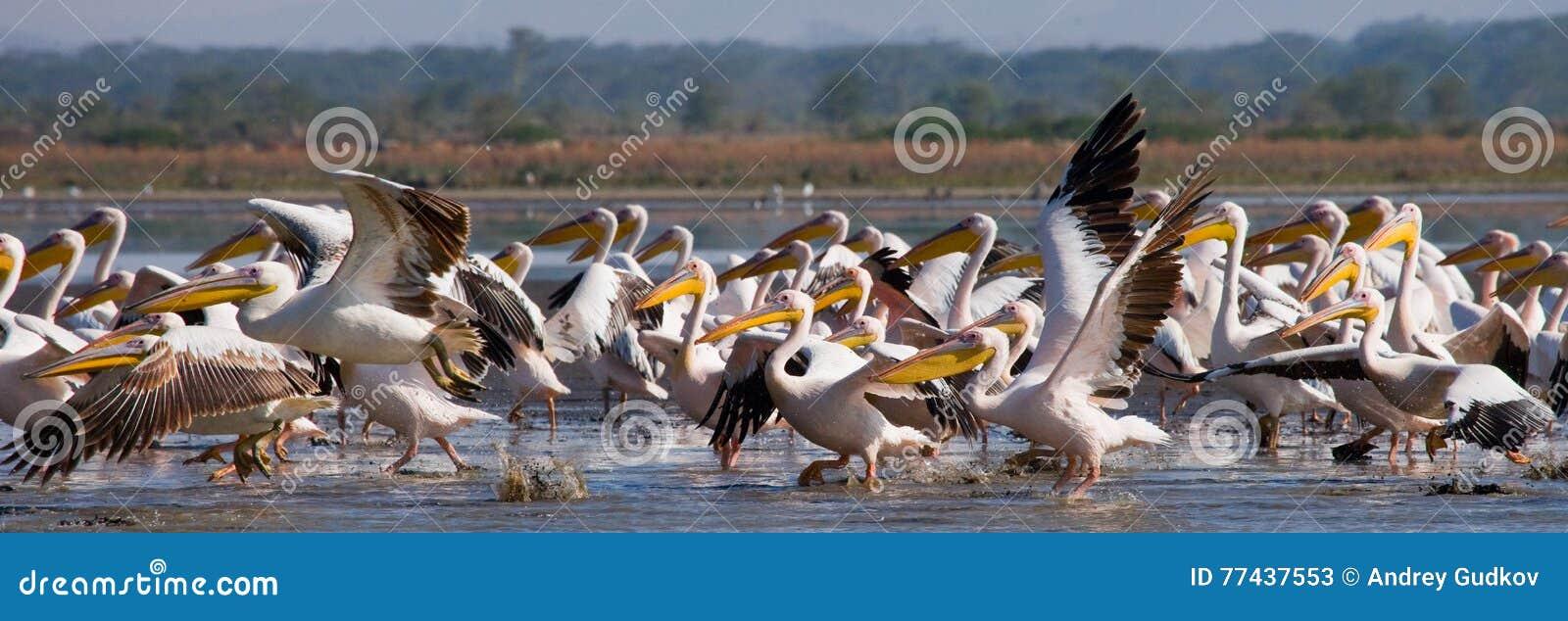 Стадо пеликанов принимая от воды Озеро Nakuru Кения вышесказанного
