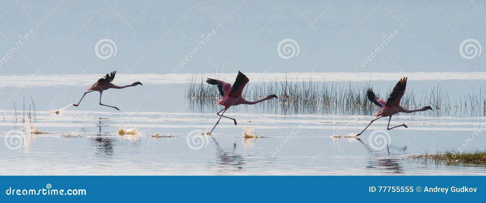 Стадо фламинго принимая  Кения вышесказанного Национальный парк Nakuru Национальный заповедник Bogoria озера