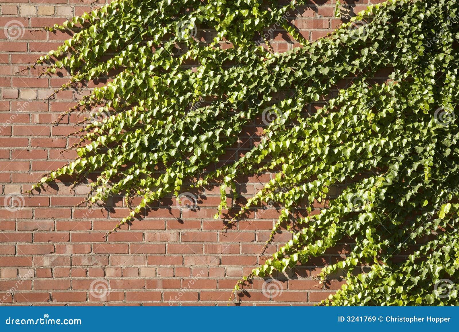 стена плюща кирпича