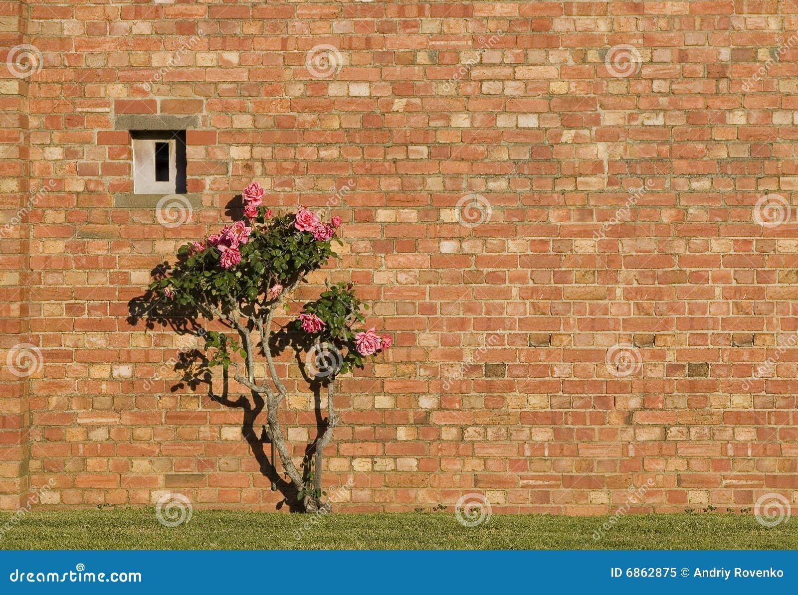 стена роз кирпича розовая красная