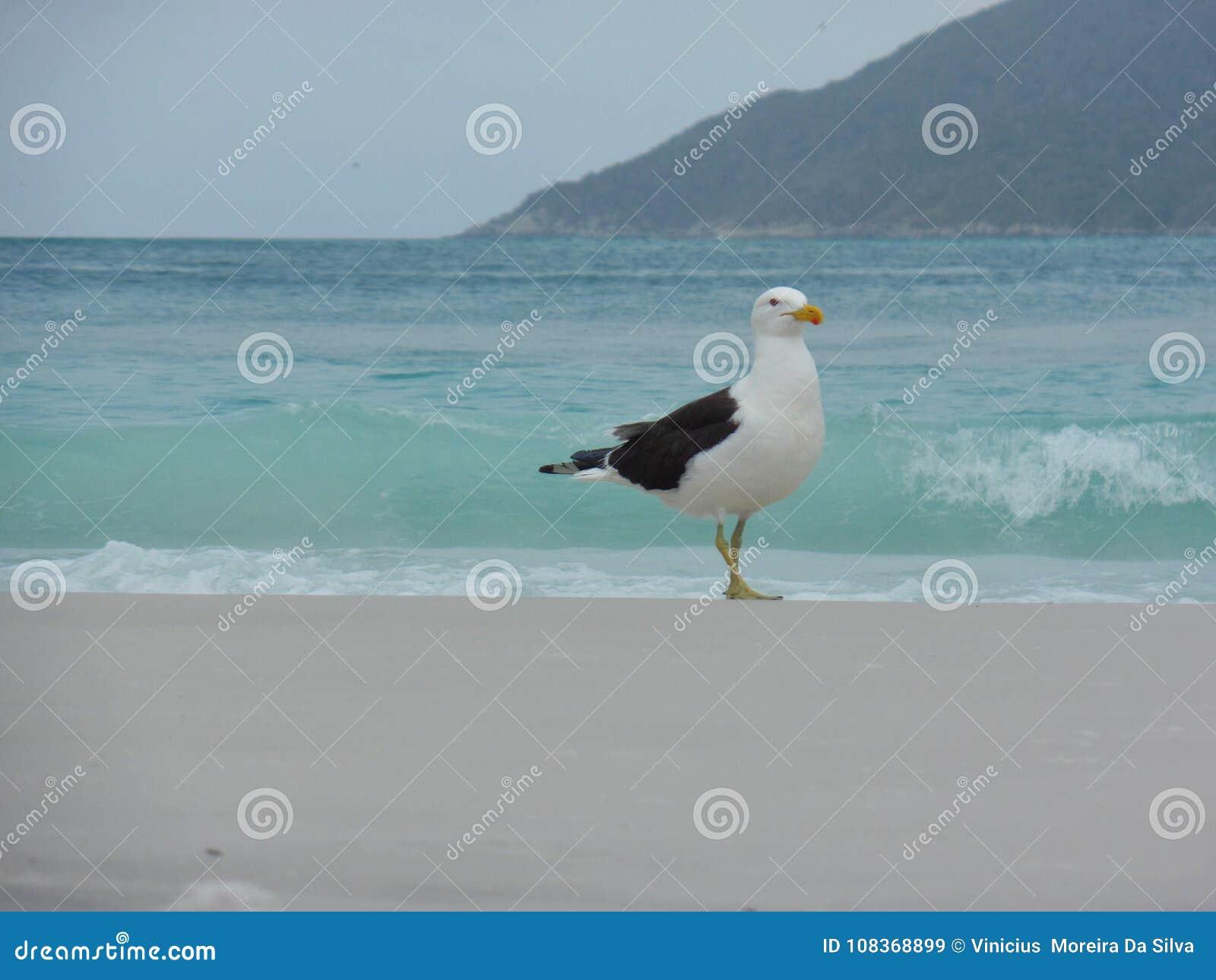 Стойка на песке, Prainhas чайки делает пляж Pontal, Arraial делает Cabo