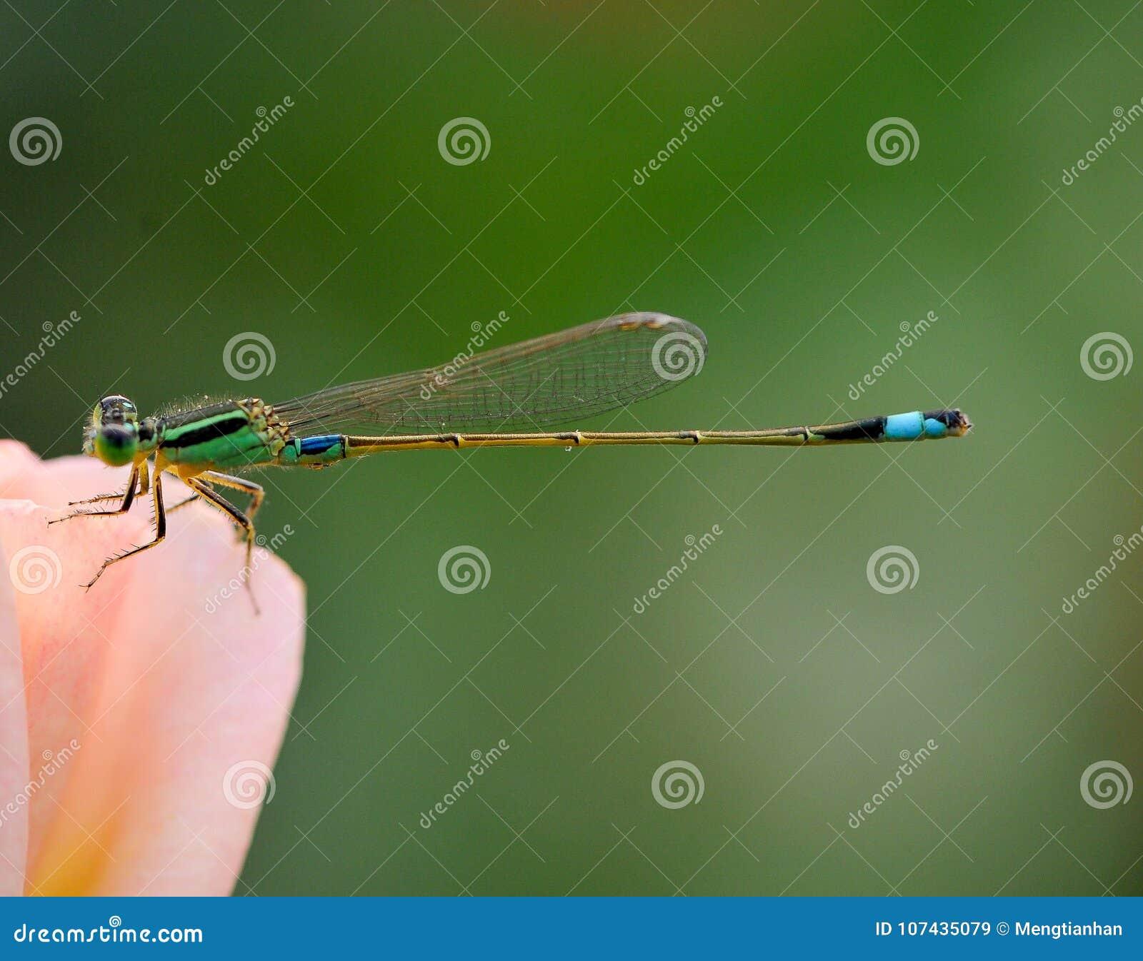 Стоп Dragonflies в розах