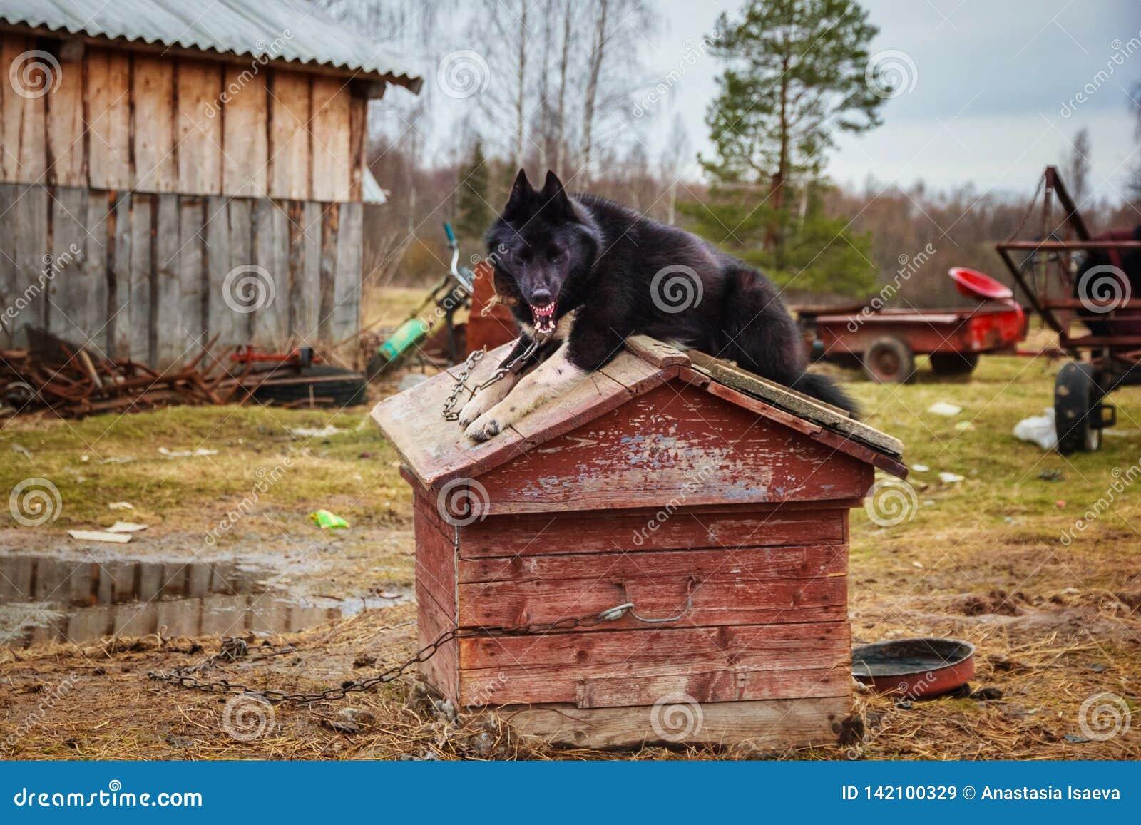 Сторожевой пес зевая на будочке на плохой русской ферме