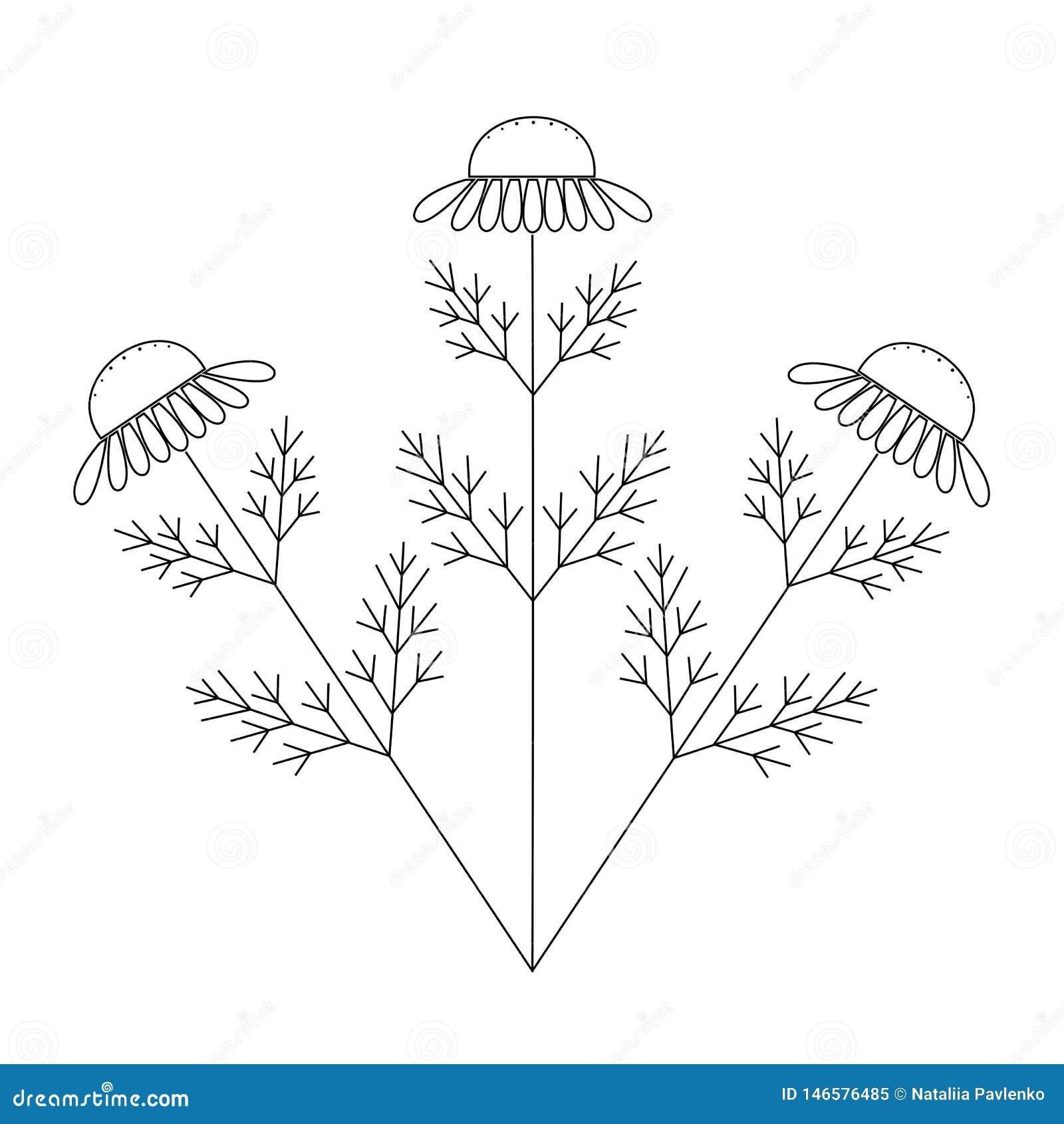 Стоцвет, нарисованная рука цветка стоцвета флористическая гравирующ иллюстрацию вектора Белый цветок на белизне