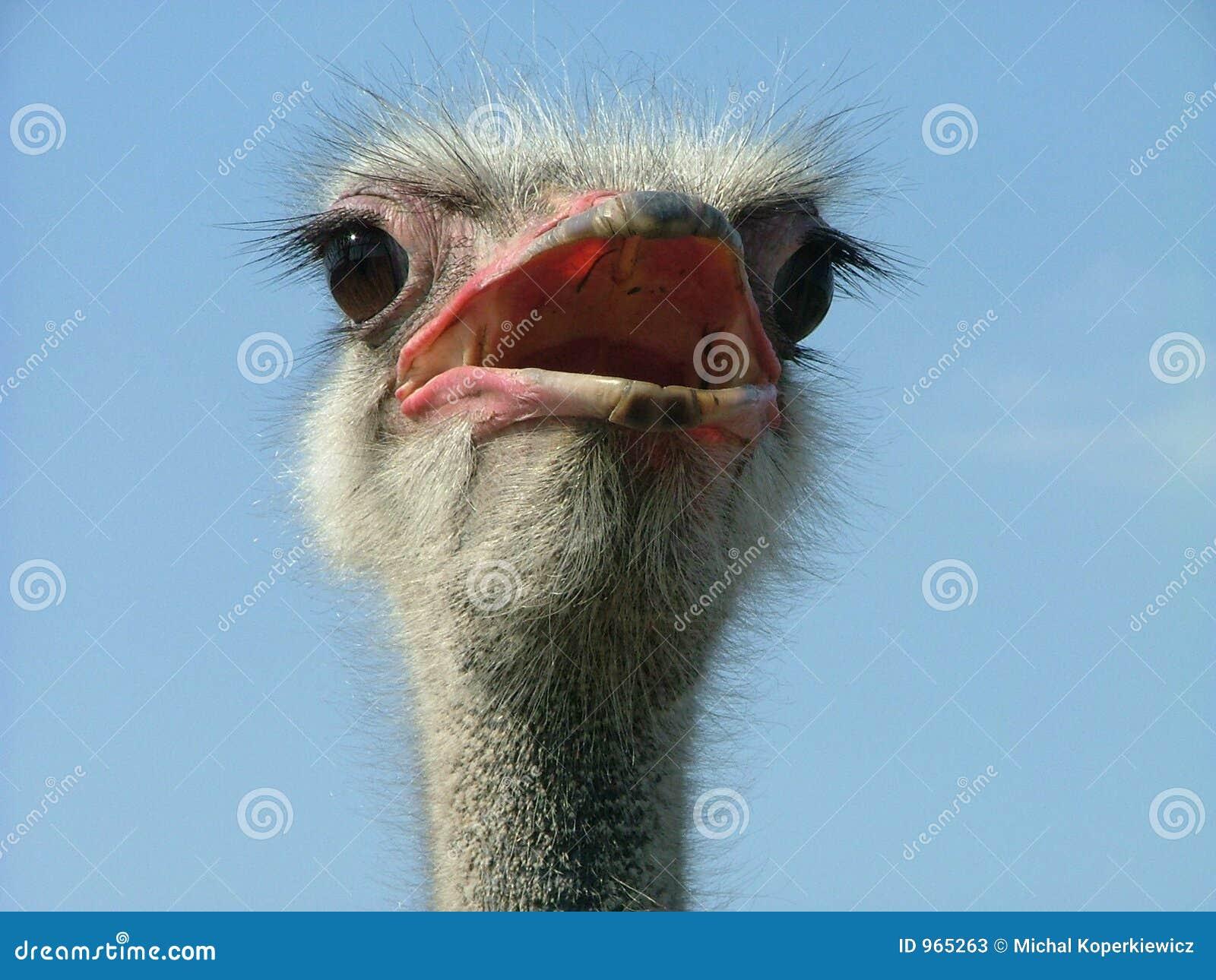 страус 2