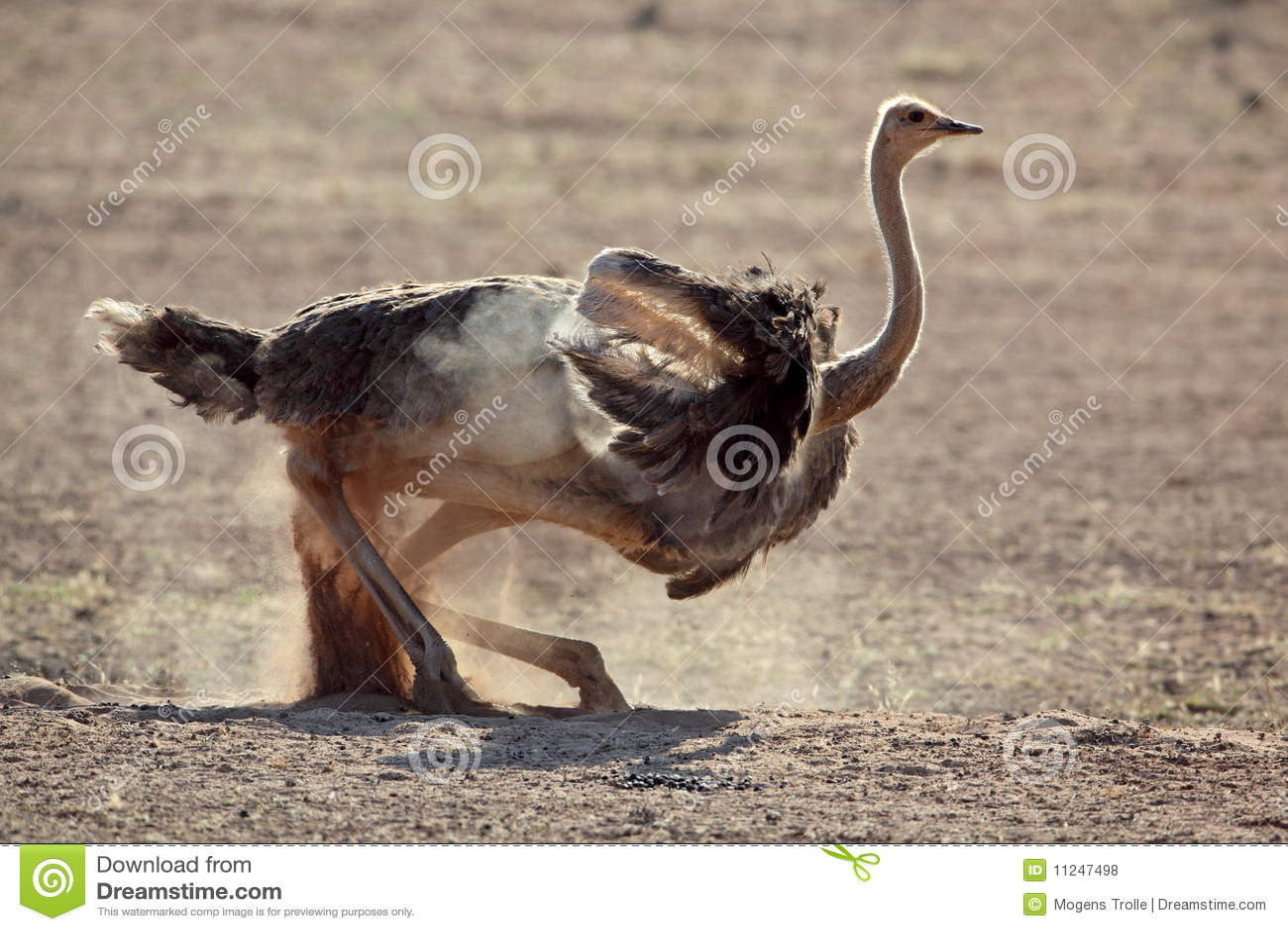 страус kalahari пыли пустыни ванны