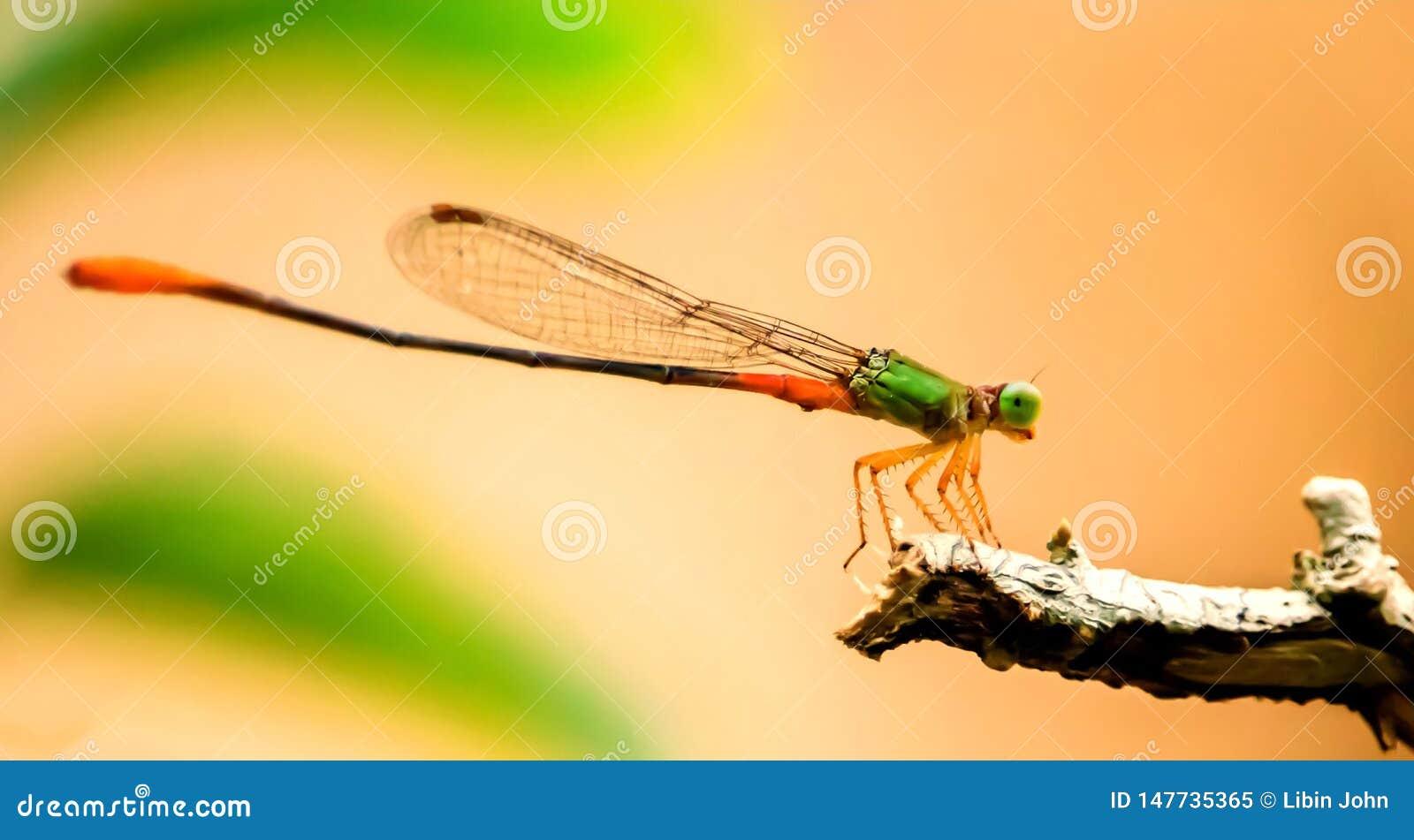 Стрекозы - оранжевый замкнутый дротик болота