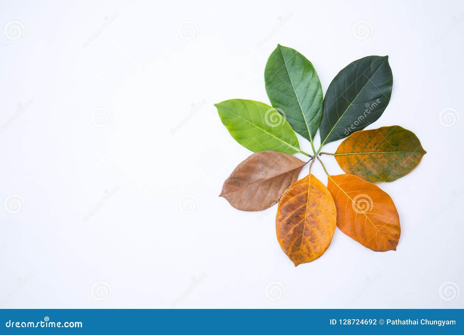 Стрехи крупного плана в другом цвете и времени листьев дерева джекфрута
