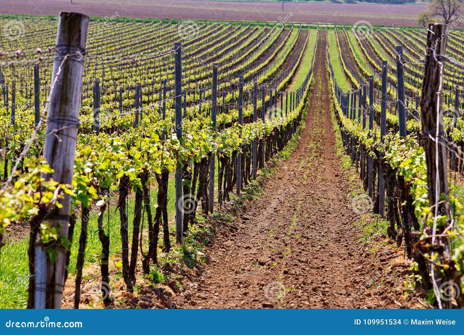 Строки виноградных лоз виноградника Ландшафт весны с зеленым vineya