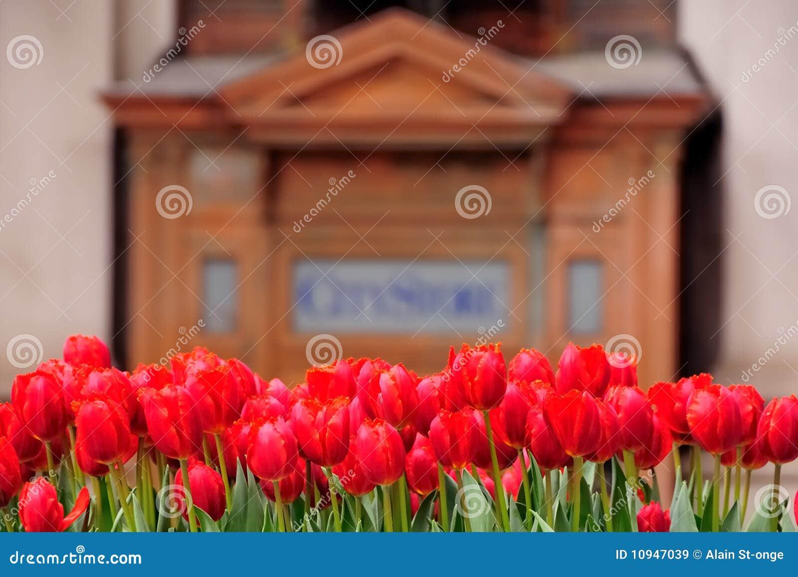 строя новые тюльпаны york