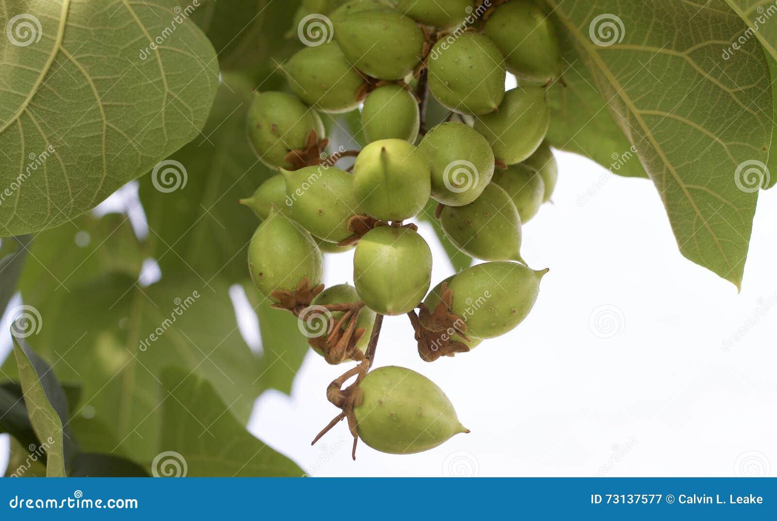 Стручки семени на дереве