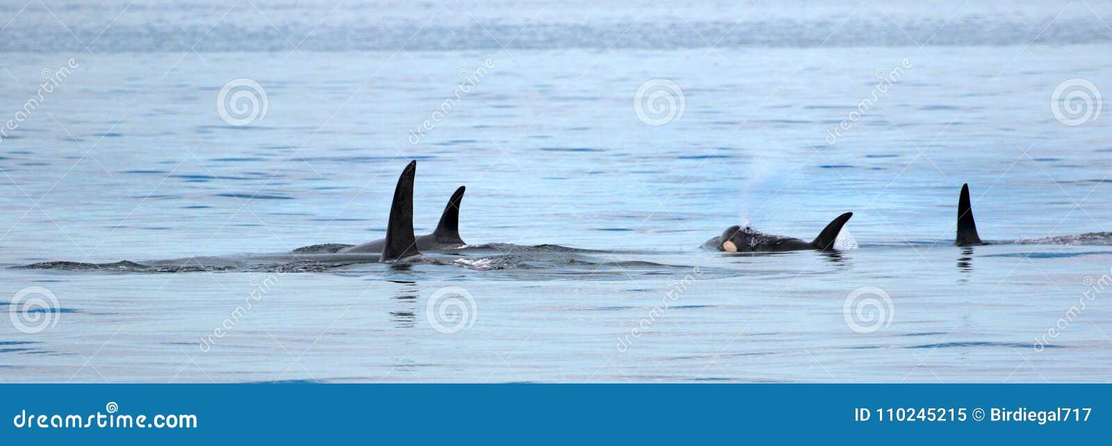 Стручок заплывания дельфин-касатки косатки, Виктория, Канада